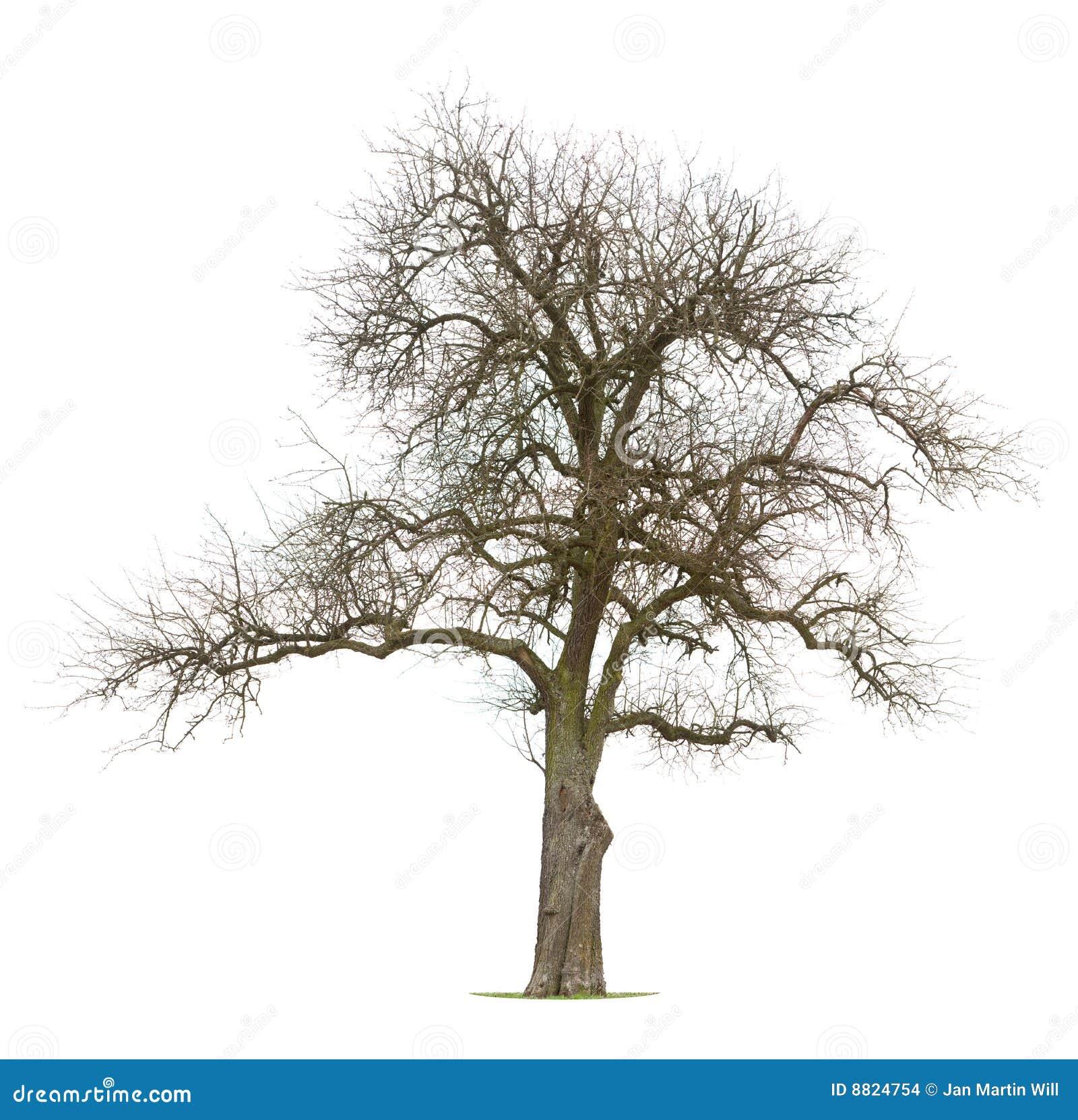 Jabłka drzewo nagi kilkuramienny