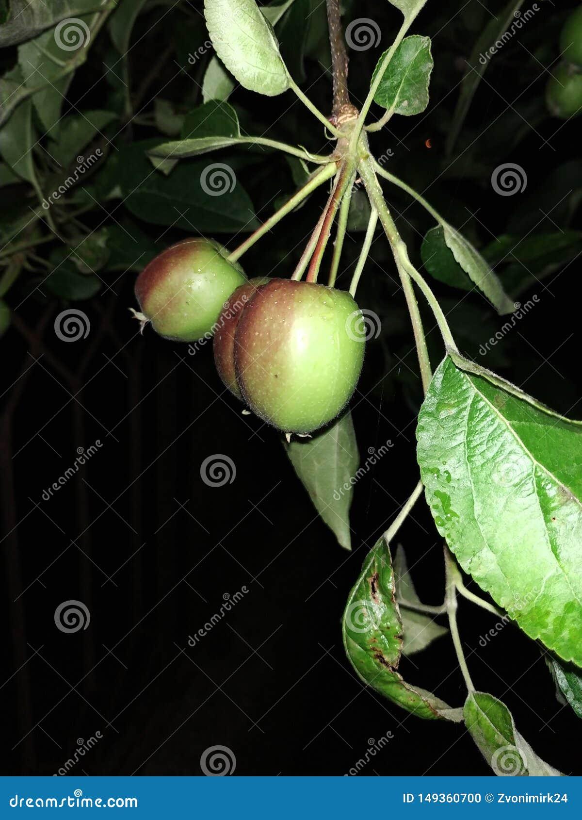 Jabłka, młodzi mali fedrunki C przy noc
