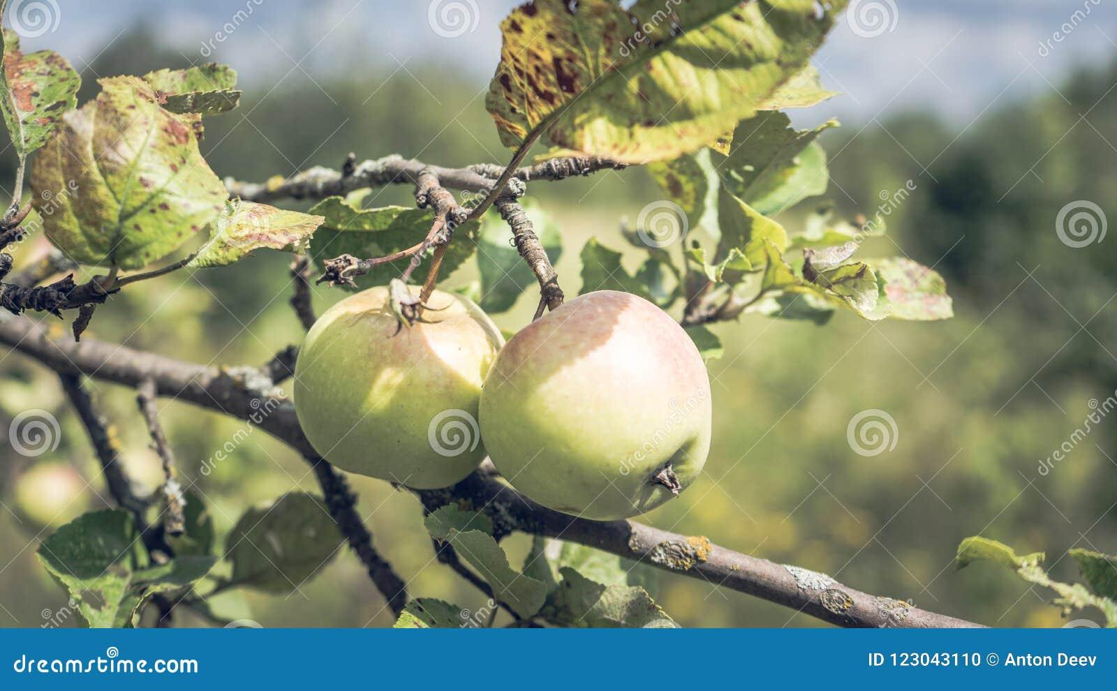 Jabłka na gałąź w lato ogródzie, blisko Dojrzali jabłka wiesza na gałąź w ogródzie