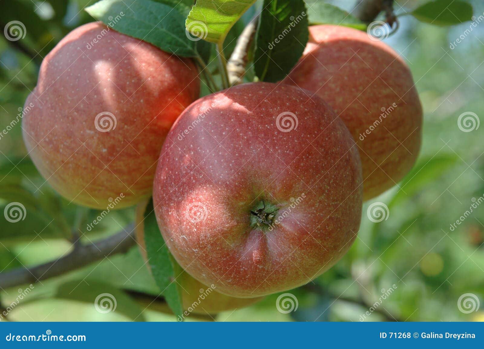 Jabłko czerwonego drzewa