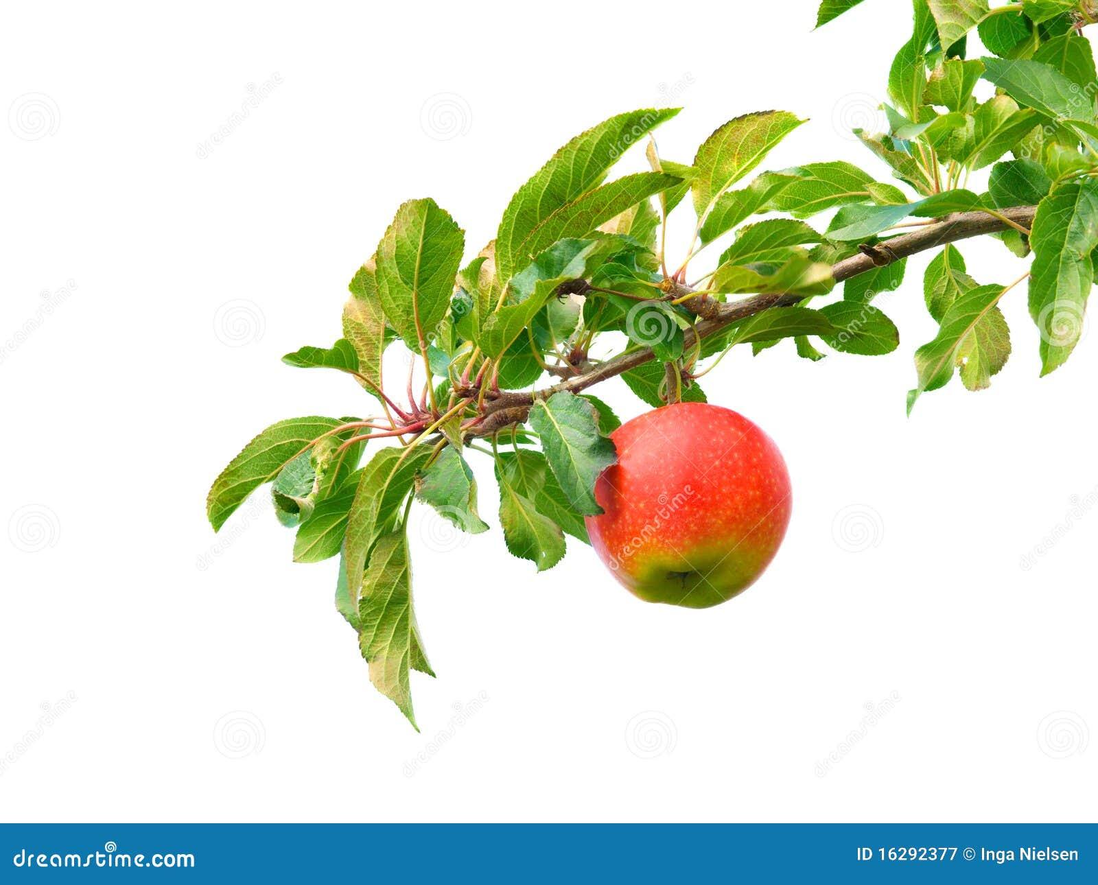 Jabłko gałąź