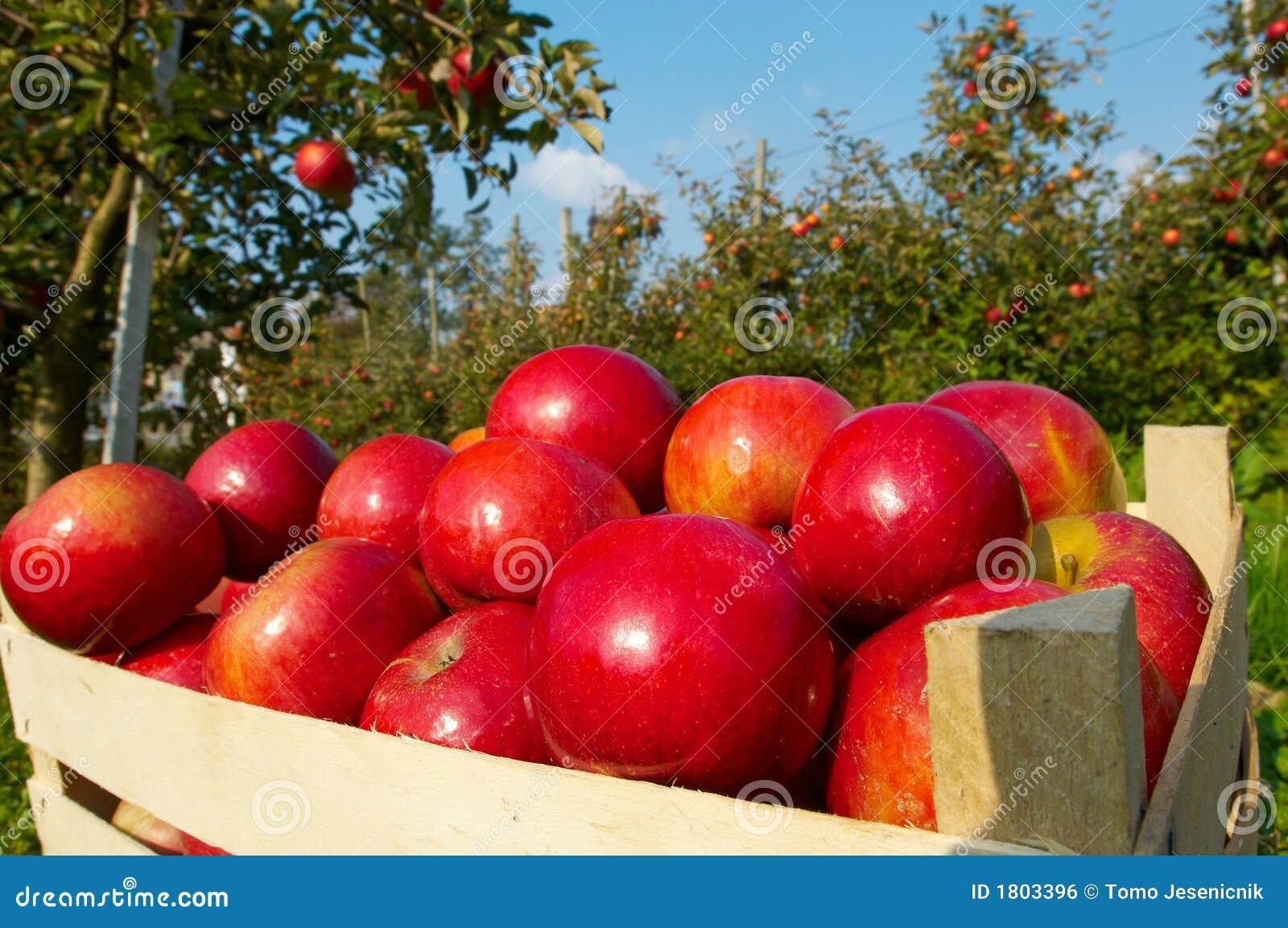 Jabłko sad
