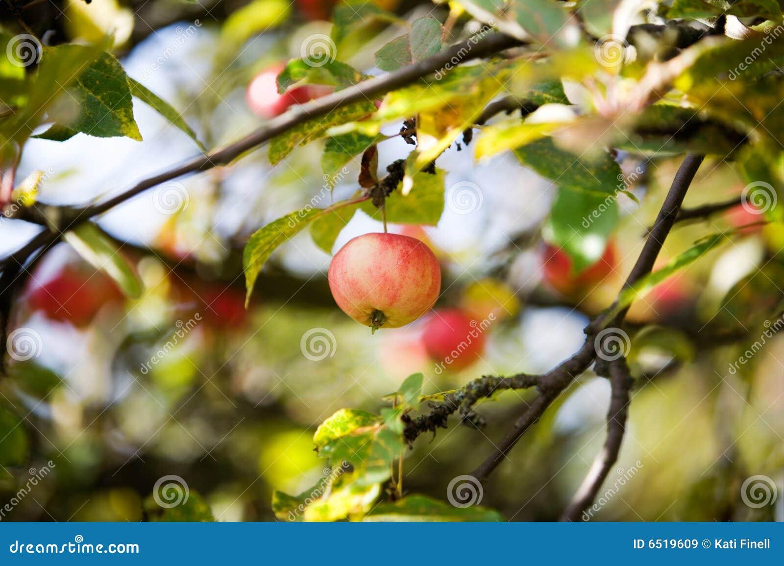 Jabłoń