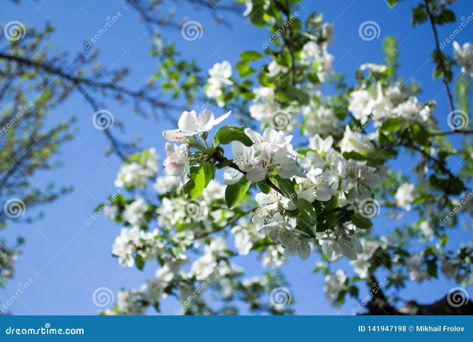 Jab?o? kwitnie pod niebieskim niebem Almaty, Kazachstan