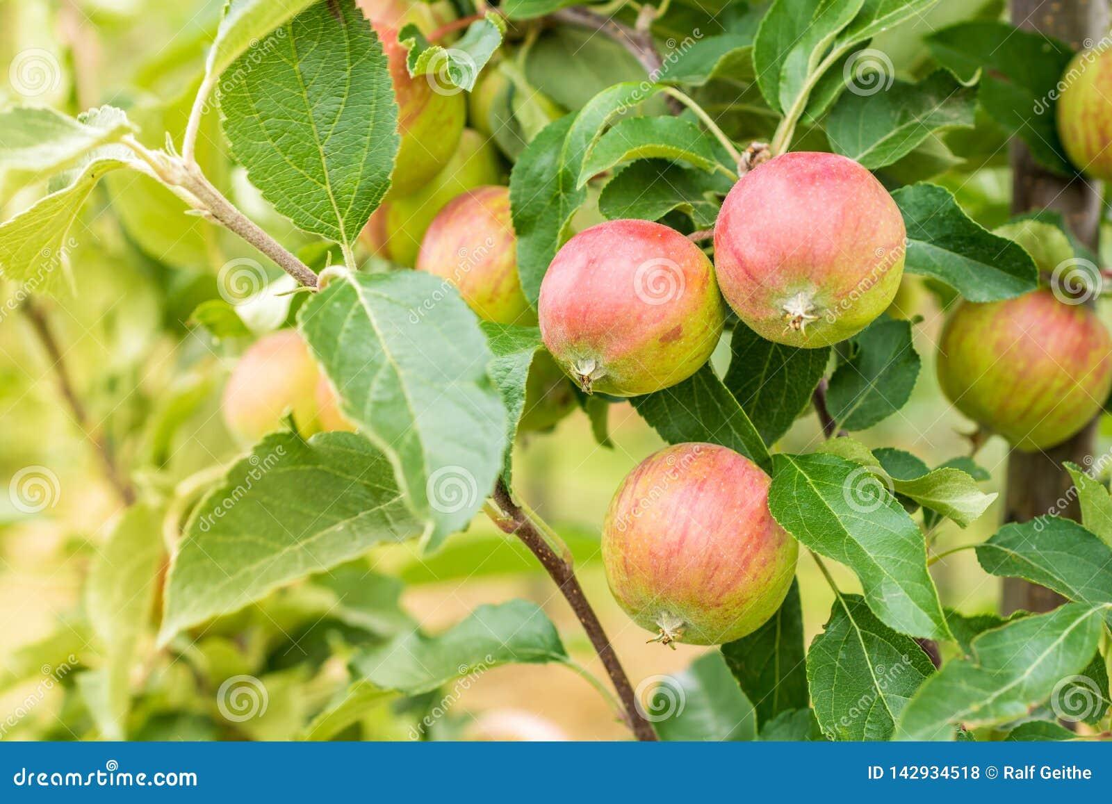 Jabłoń na sadzie z zielonymi czerwonymi jabłkami