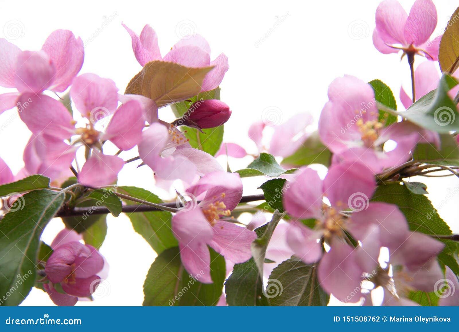 Jabłoniowa okwitnięcie gałąź z różowymi kwiatami