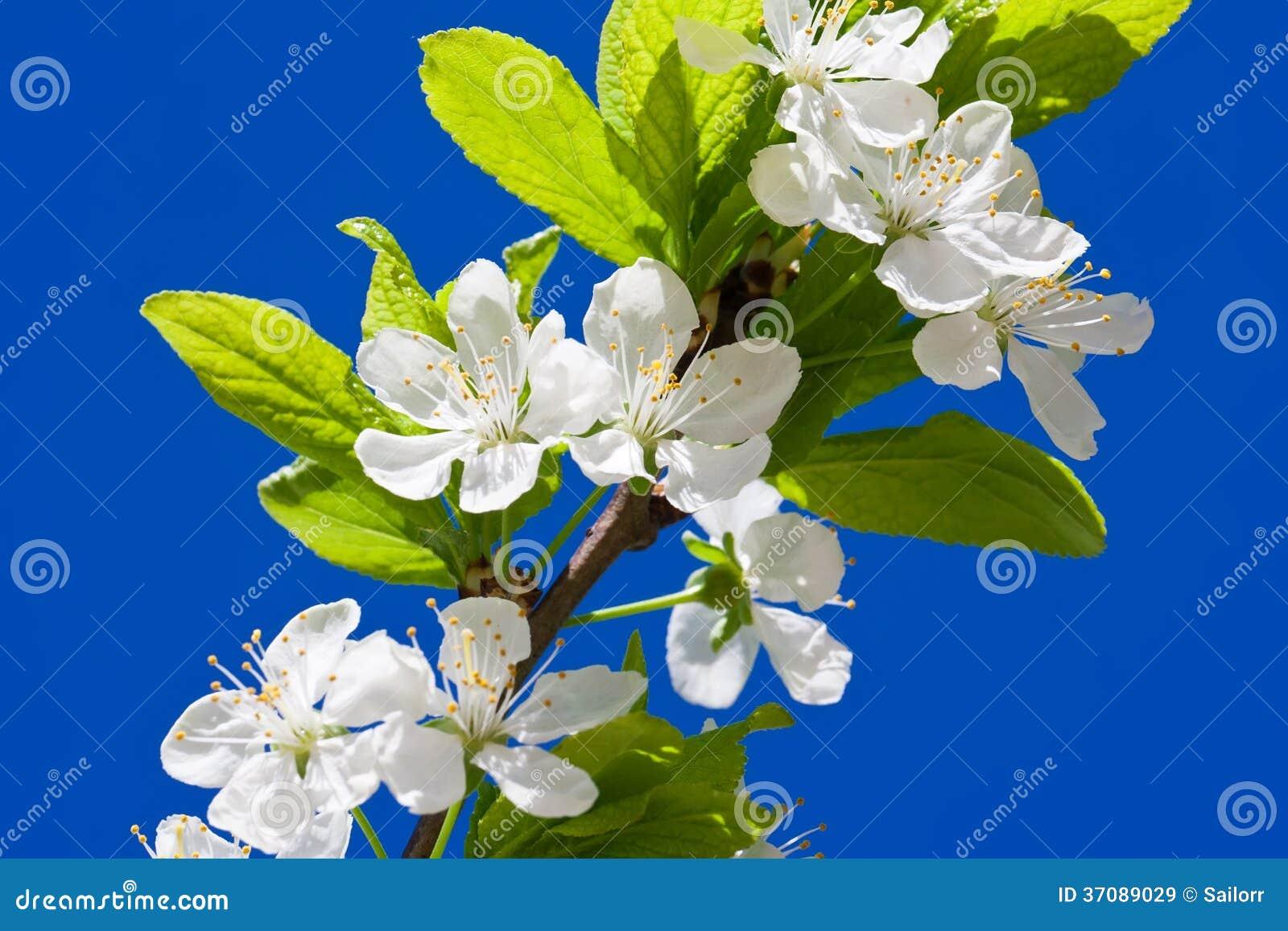 Download Jabłczani kwiaty obraz stock. Obraz złożonej z pączek - 37089029