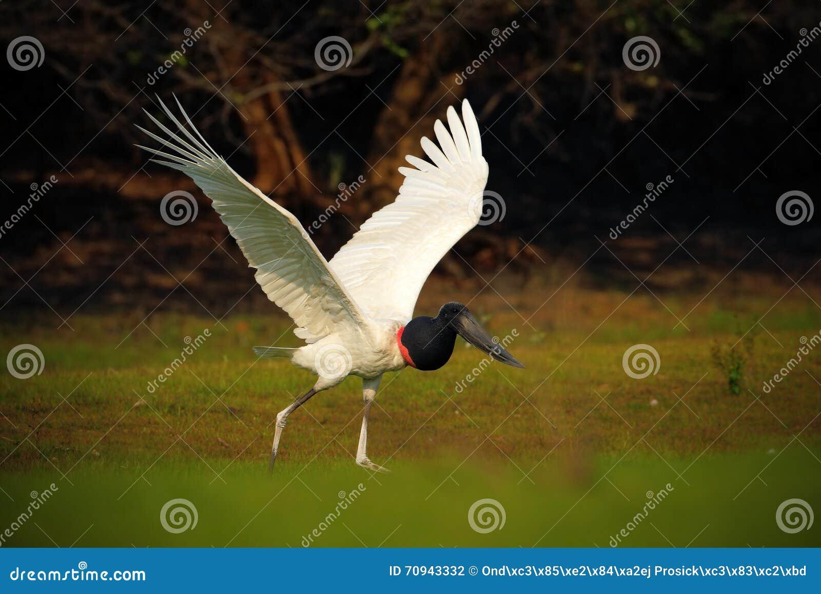 Jabiru, mycteria di Jabiru, in bianco e nero nell uccello acquatico verde, animale nell habitat della natura, Pantanal, Brasile