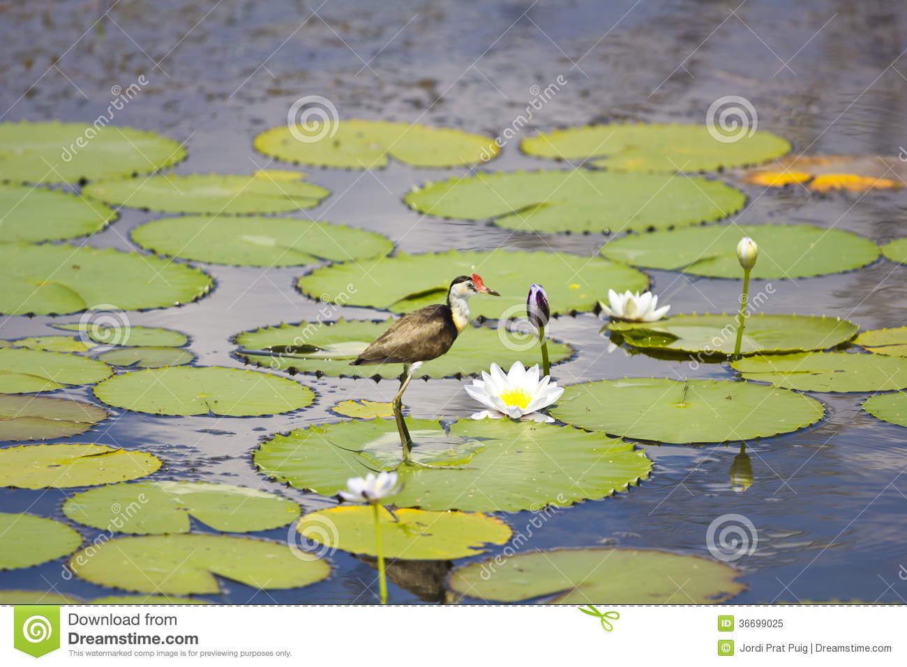 Jacana and lily flower