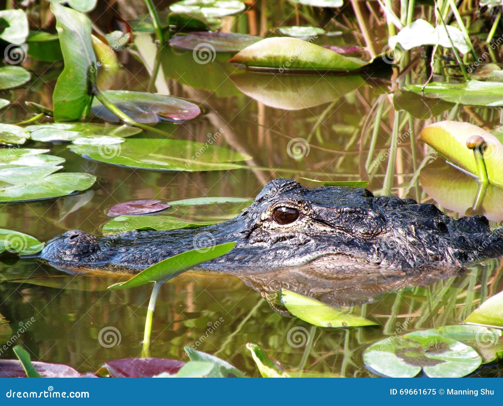 Jacaré da natação no pântano