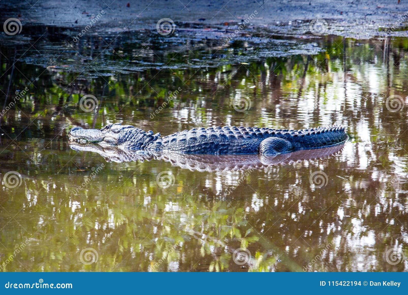 Jacaré em Marsh Trail em Florida ocidental sul