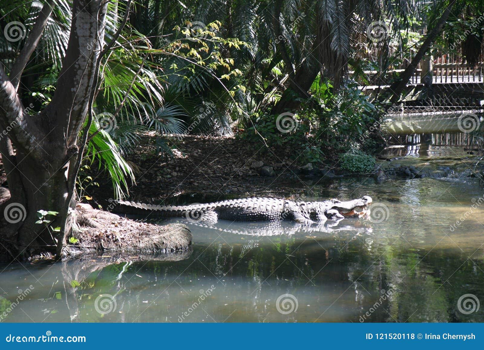 Jacaré grande na água verde com a planta no jardim zoológico