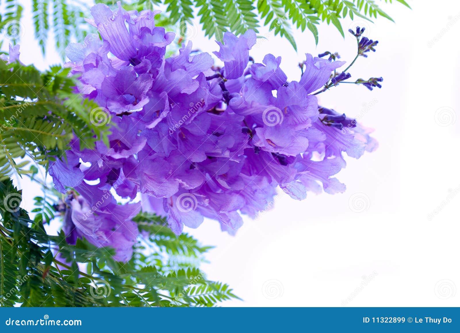 Jacaranda-Blumen