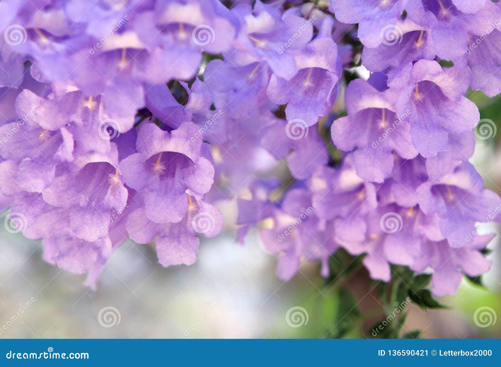 Purple Flowers On The Jacaranda Tree Stock Image Image Of Ornamental Tree