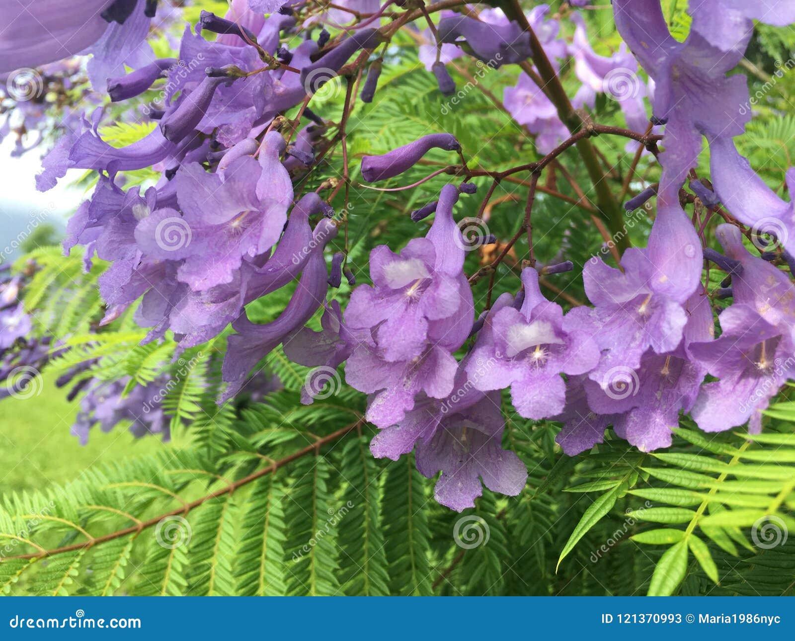 Jacaranda tree blossoming with purple flowers on kauai island jacaranda tree blossoming with purple flowers on kauai island in hawaii mightylinksfo