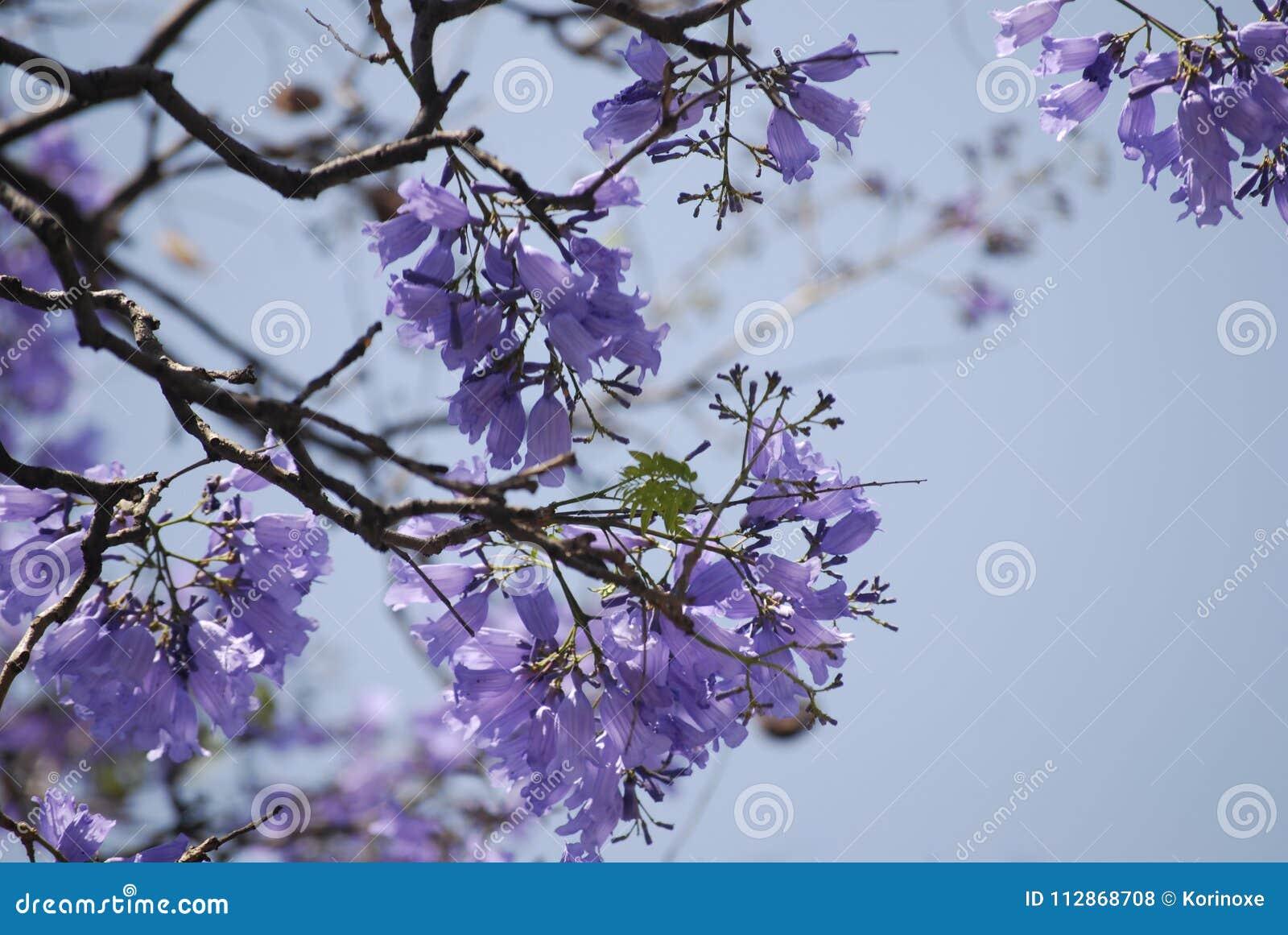 Jacaranda Tree Flowers With Purple Flowers Stock Photo Image Of Mexico Floral