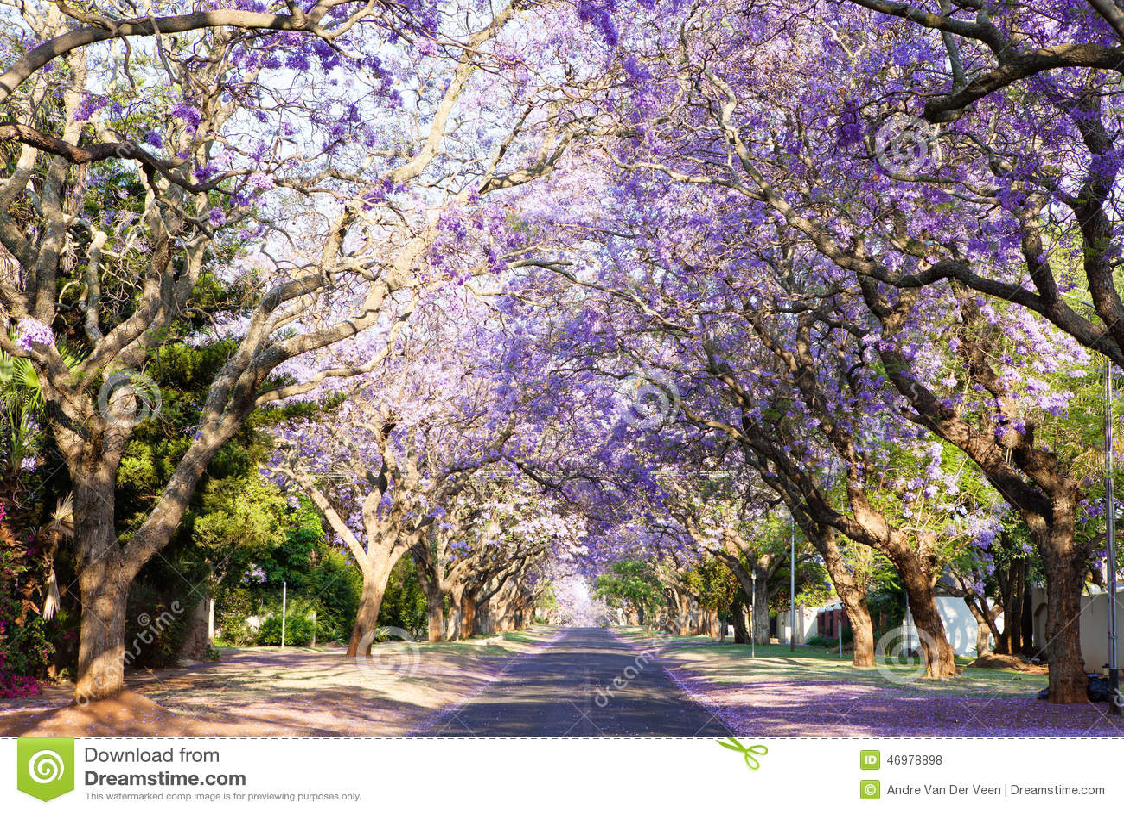 Jacaranda Tree-lined Street In South Africa's Capital City ...