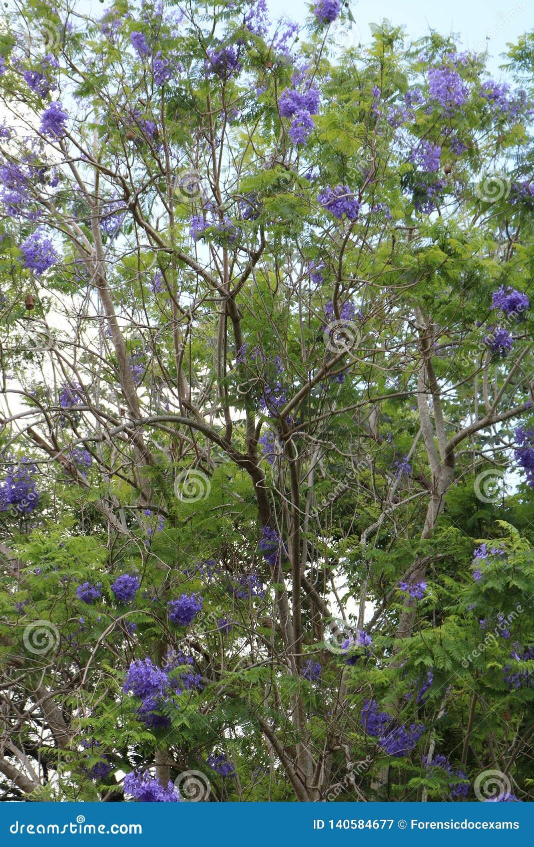 Jacarandaboom het bloeien blauw