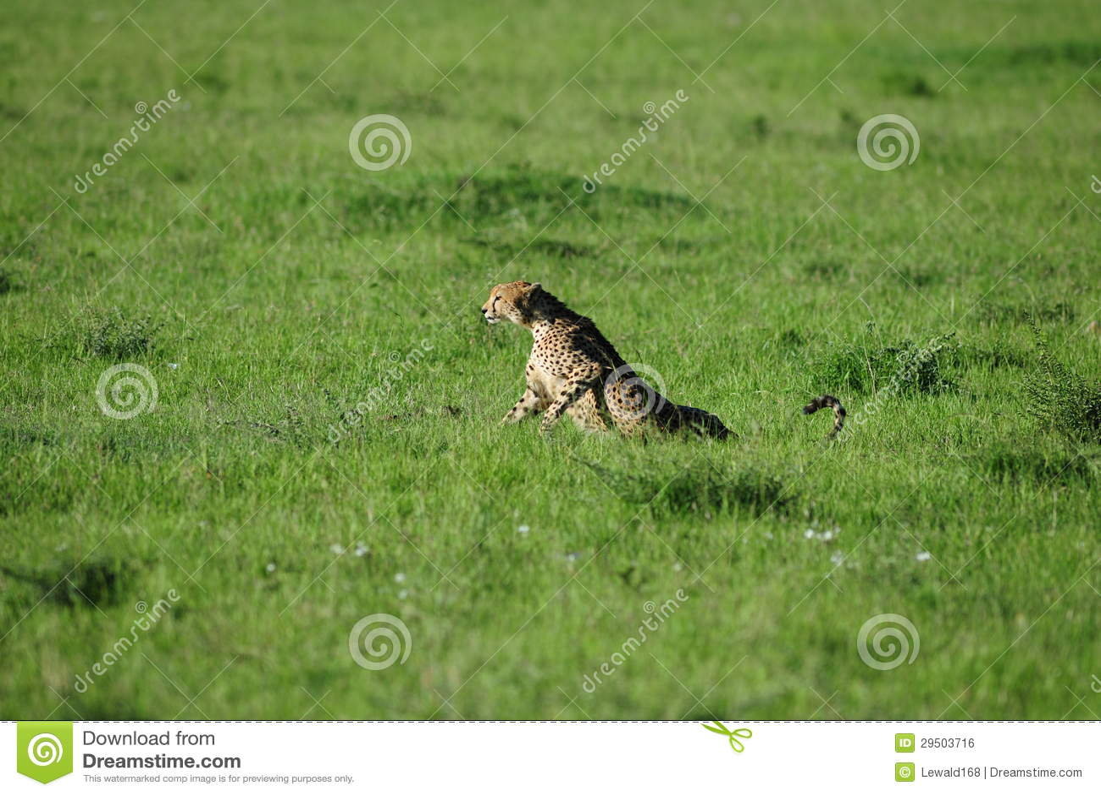 Jachtluipaard