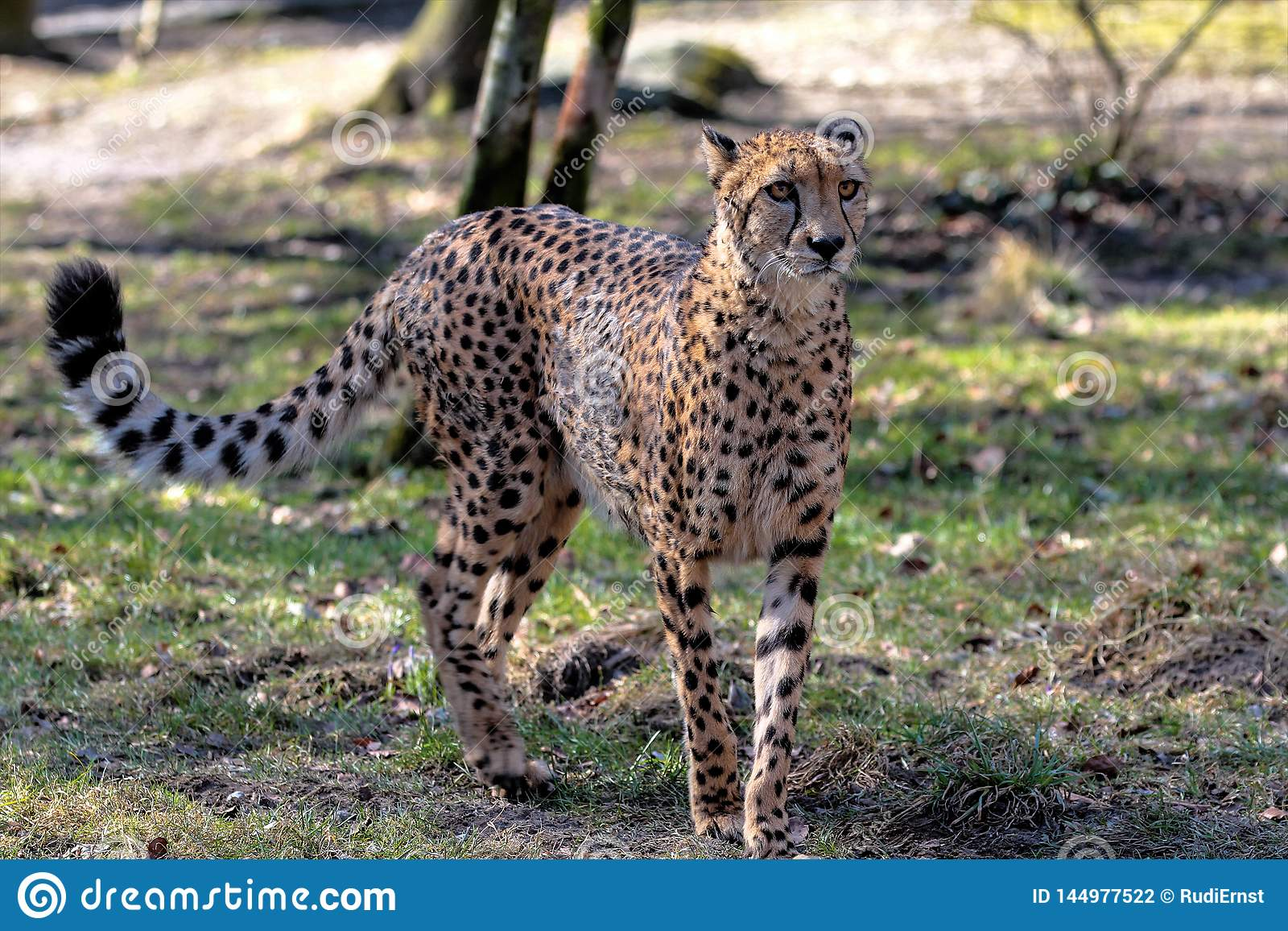 Jachtluipaard, Acinonyx-jubatus, mooi zoogdierdier in de dierentuin