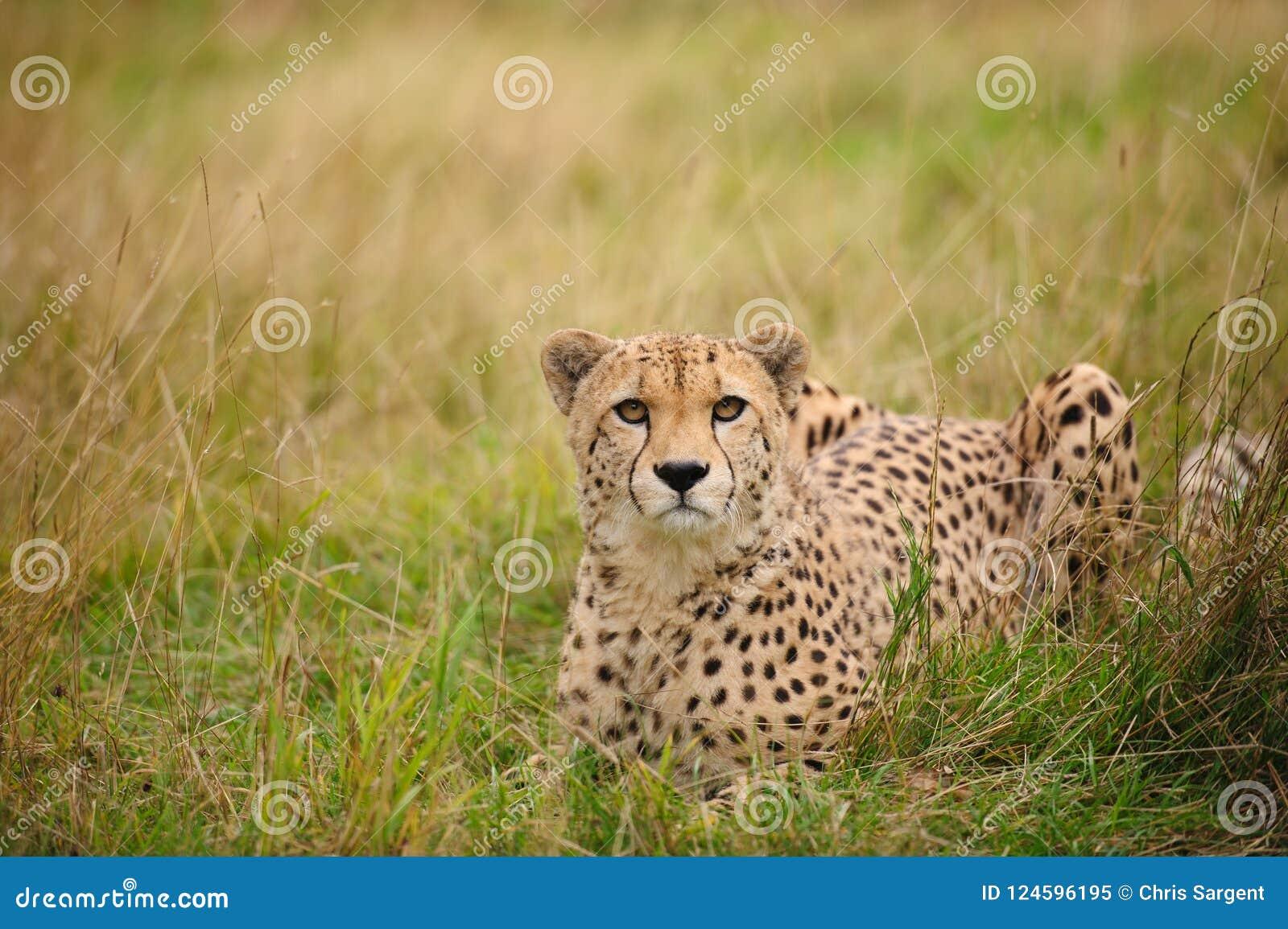 Jachtluipaard die in gras ligt