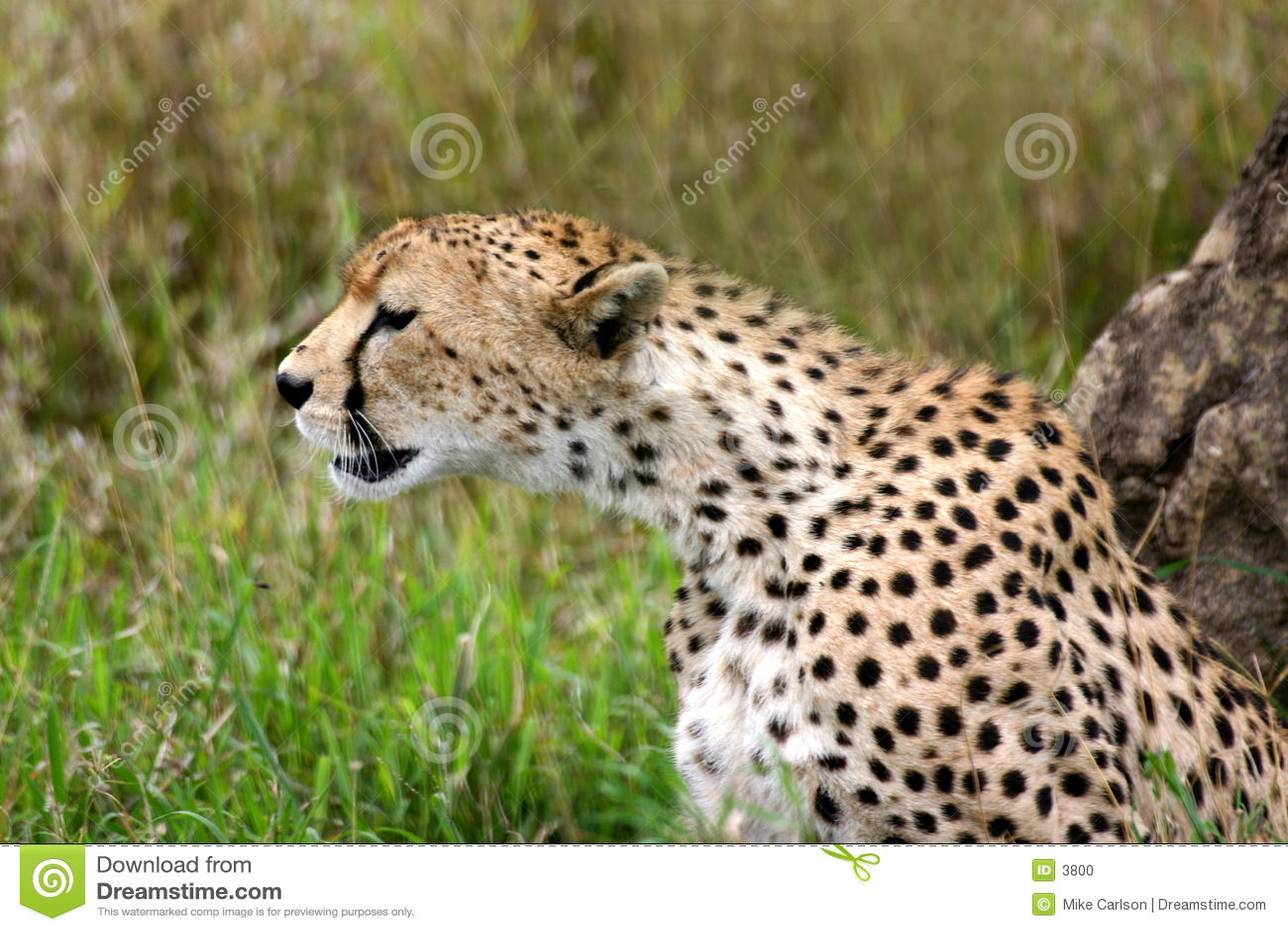 Jachtluipaard die Horloge houdt