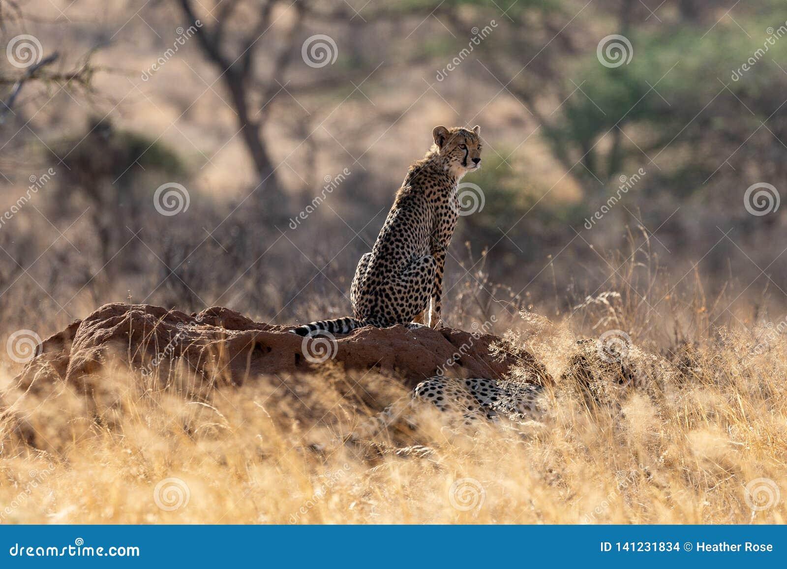 Jachtluipaard in het ochtendlicht op de vlaktes in Masai Mara, Kenia, Afrika