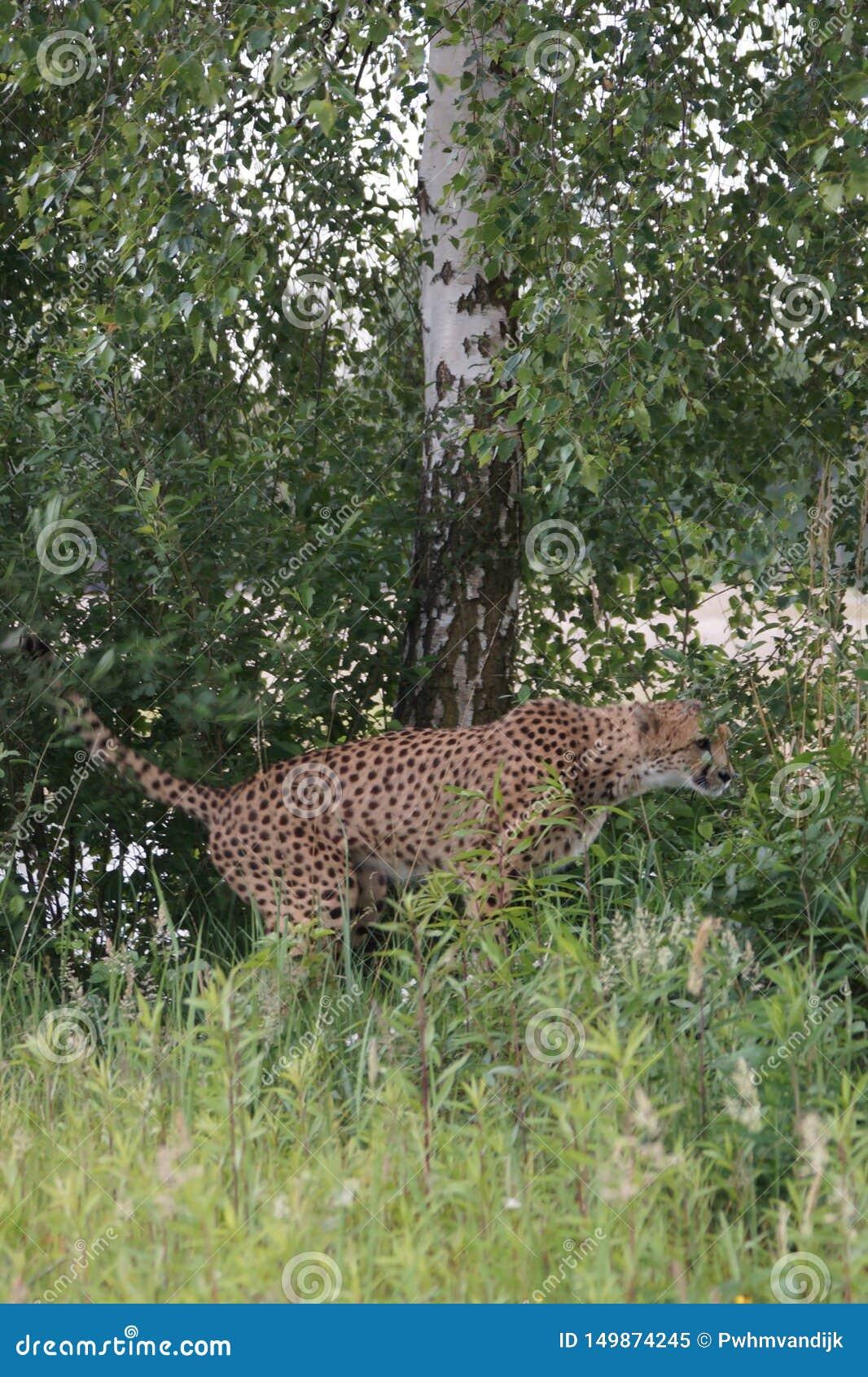 Jachtluipaard het shitting in het gras