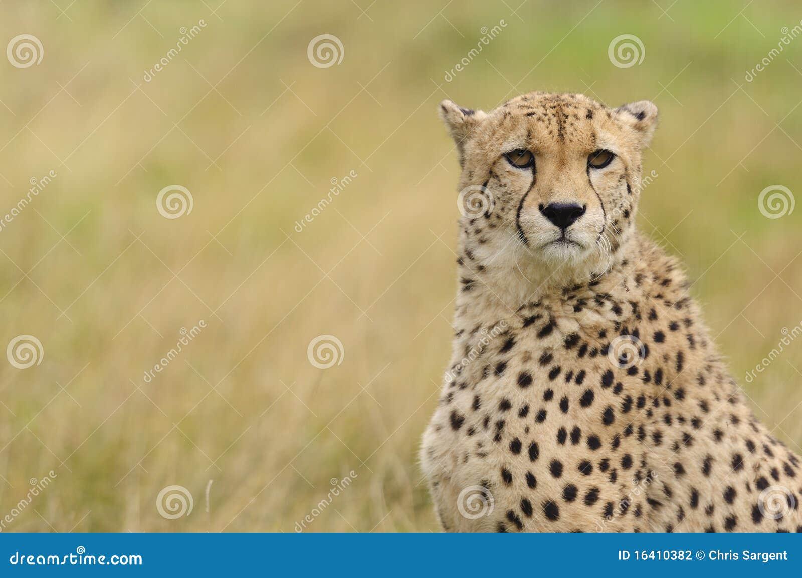 Jachtluipaard op een gebied van bruin gras