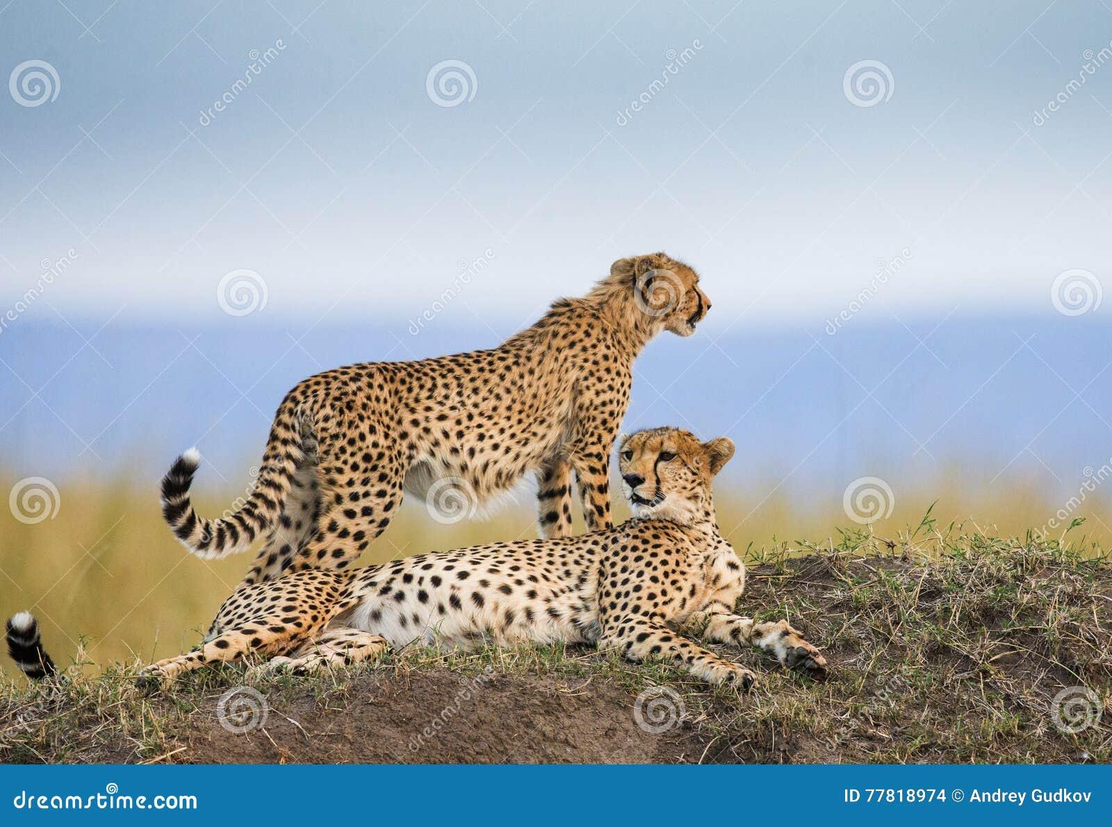 Jachtluipaard twee in de savanne kenia tanzania afrika Nationaal Park serengeti Maasai Mara
