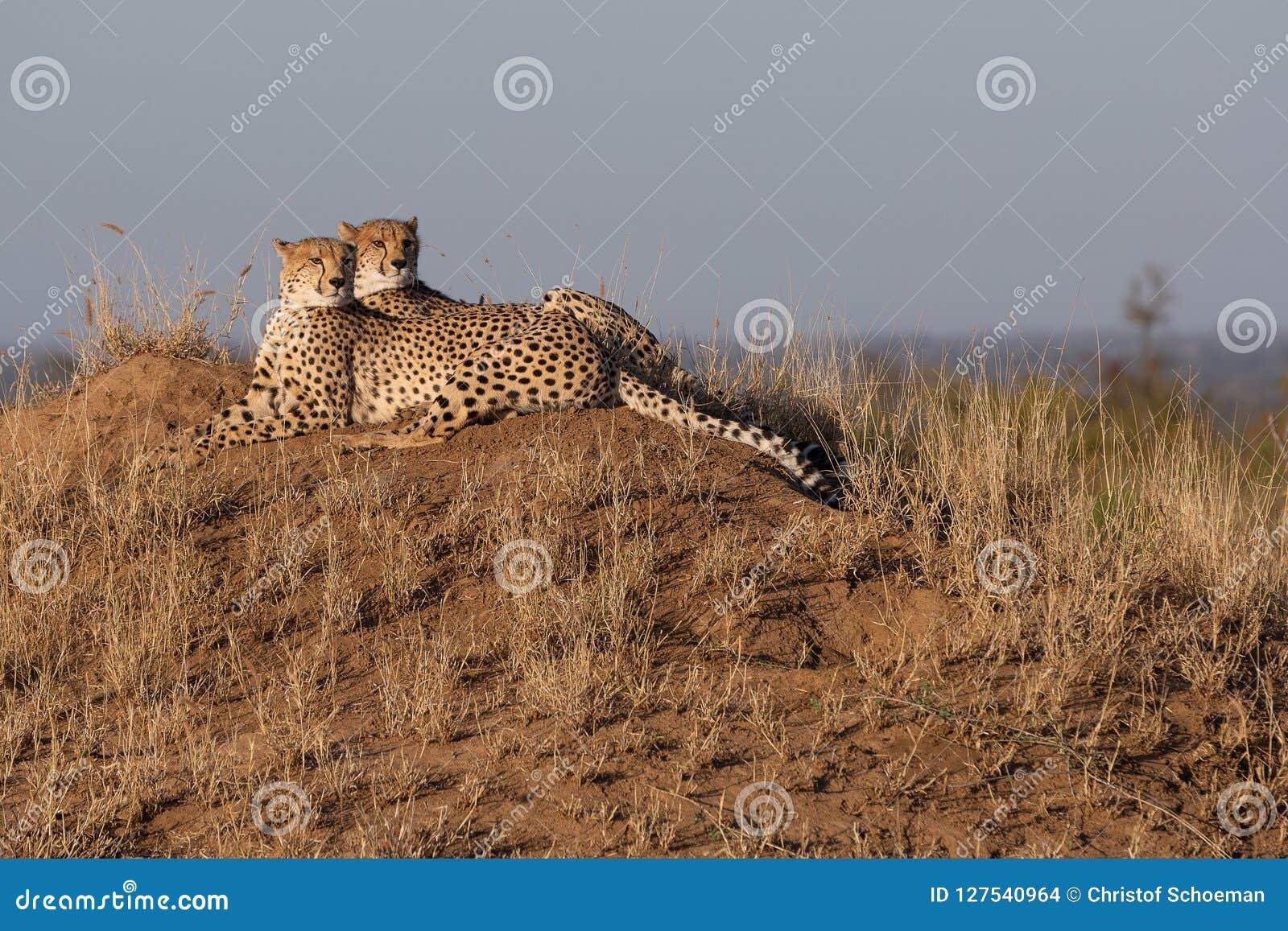 Jachtluipaardbroers samen op een standpunt