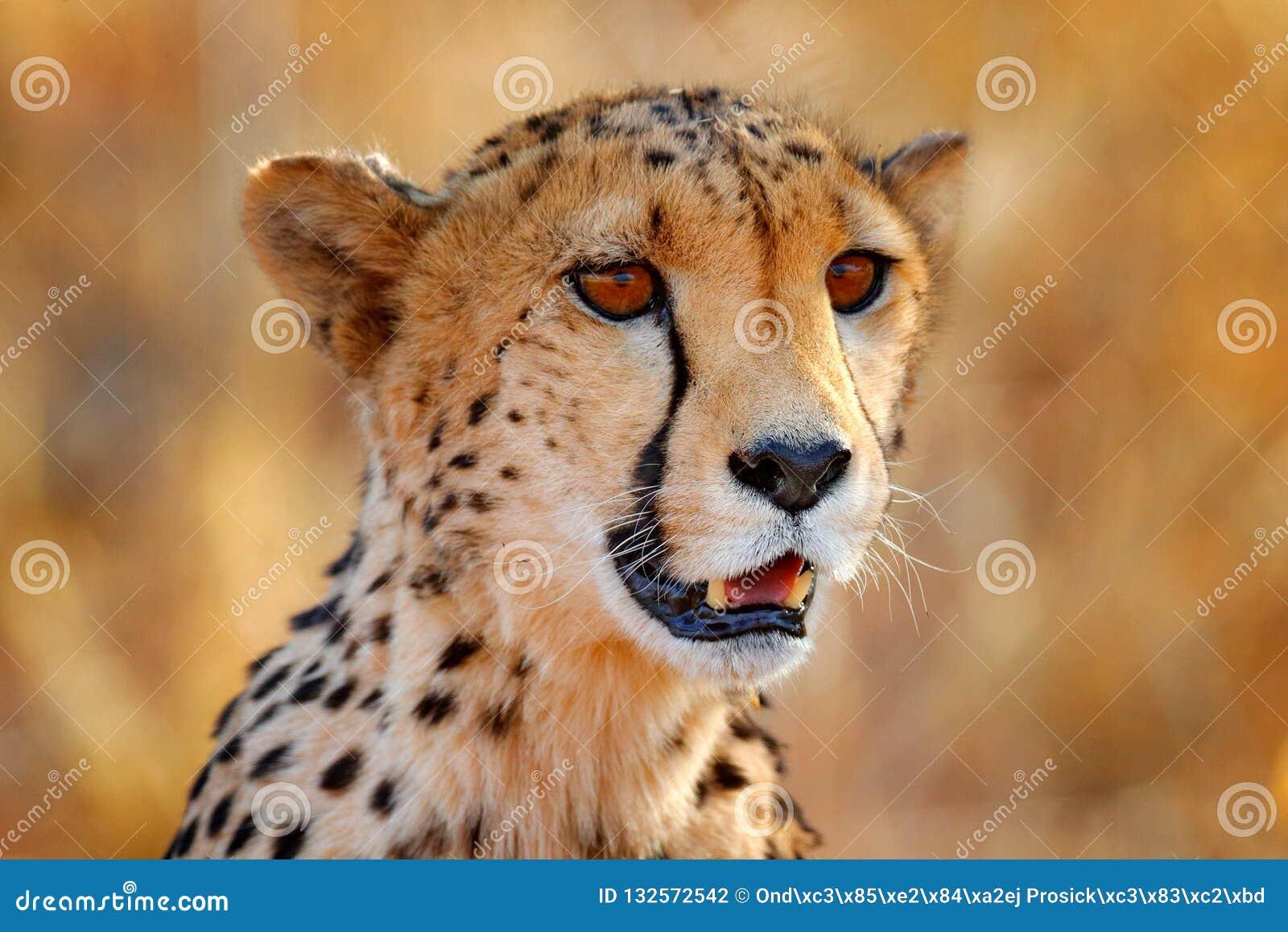 Jachtluipaardgezicht, Acinonyx-jubatus, het portret van het detailclose-up van wilde kat Snelste zoogdier op het land, Etosha NP,