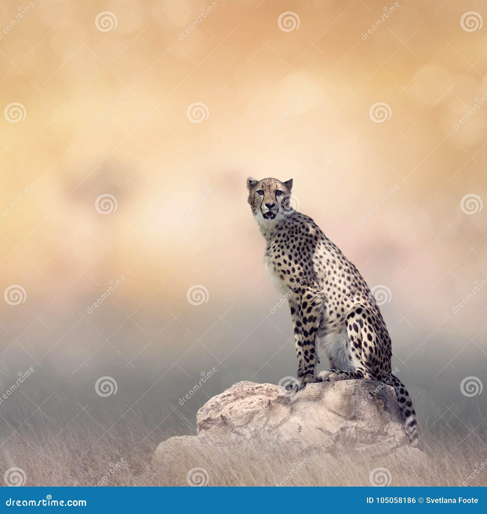 Jachtluipaardzitting op een rots