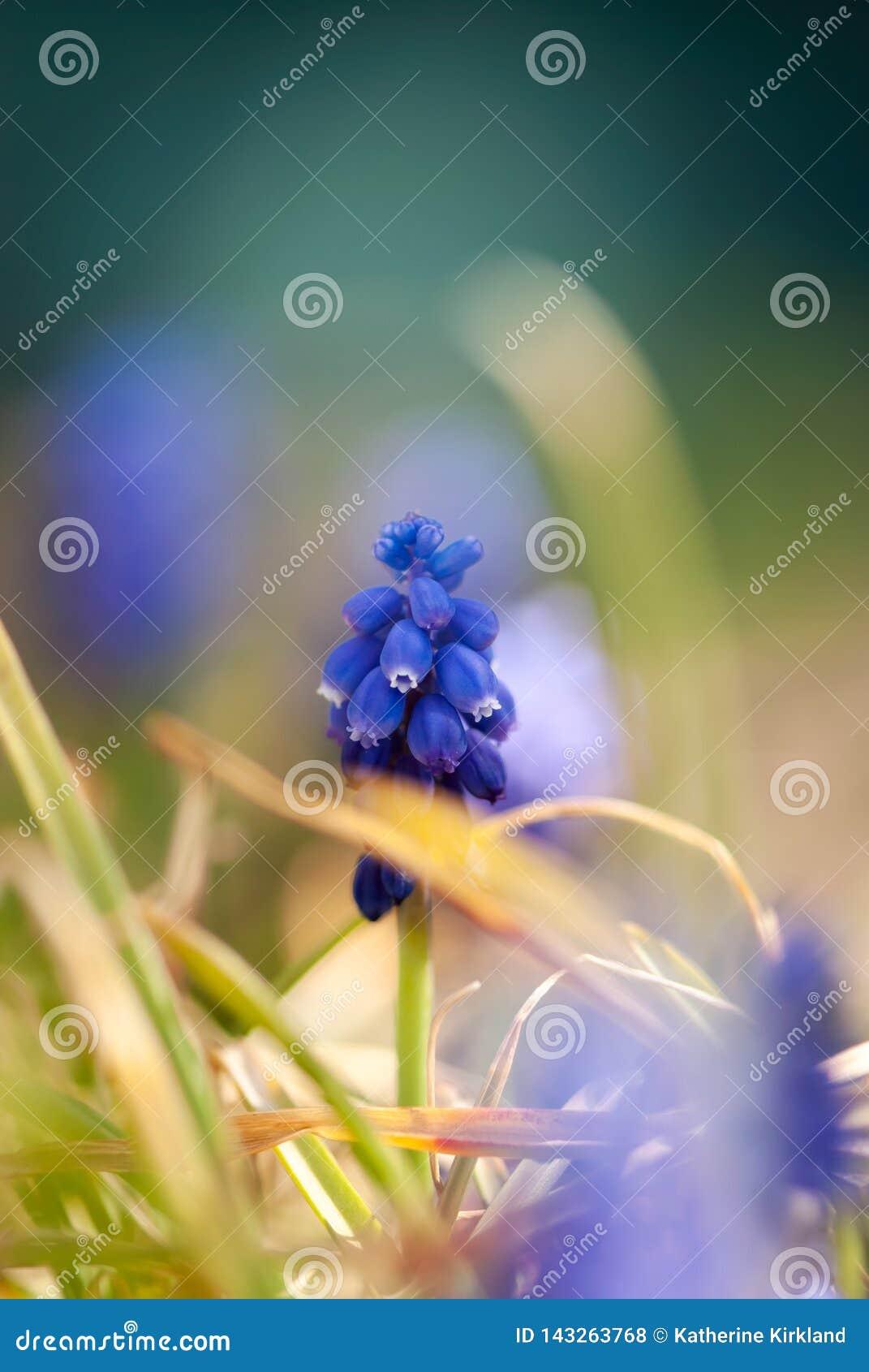 Jacinthe de raisin bleue avec l herbe jaune