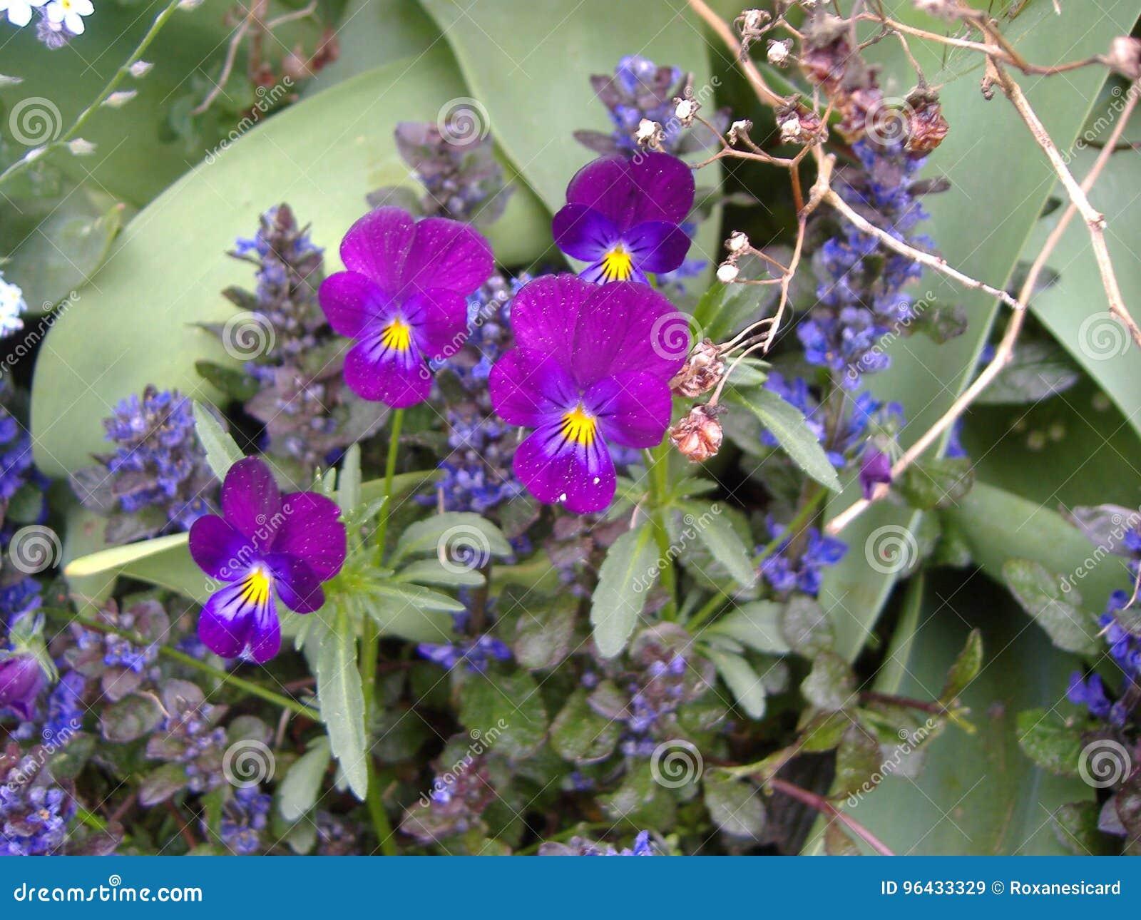 Jacinthe En Fleur Flower Stock Image Image Of Little 96433329