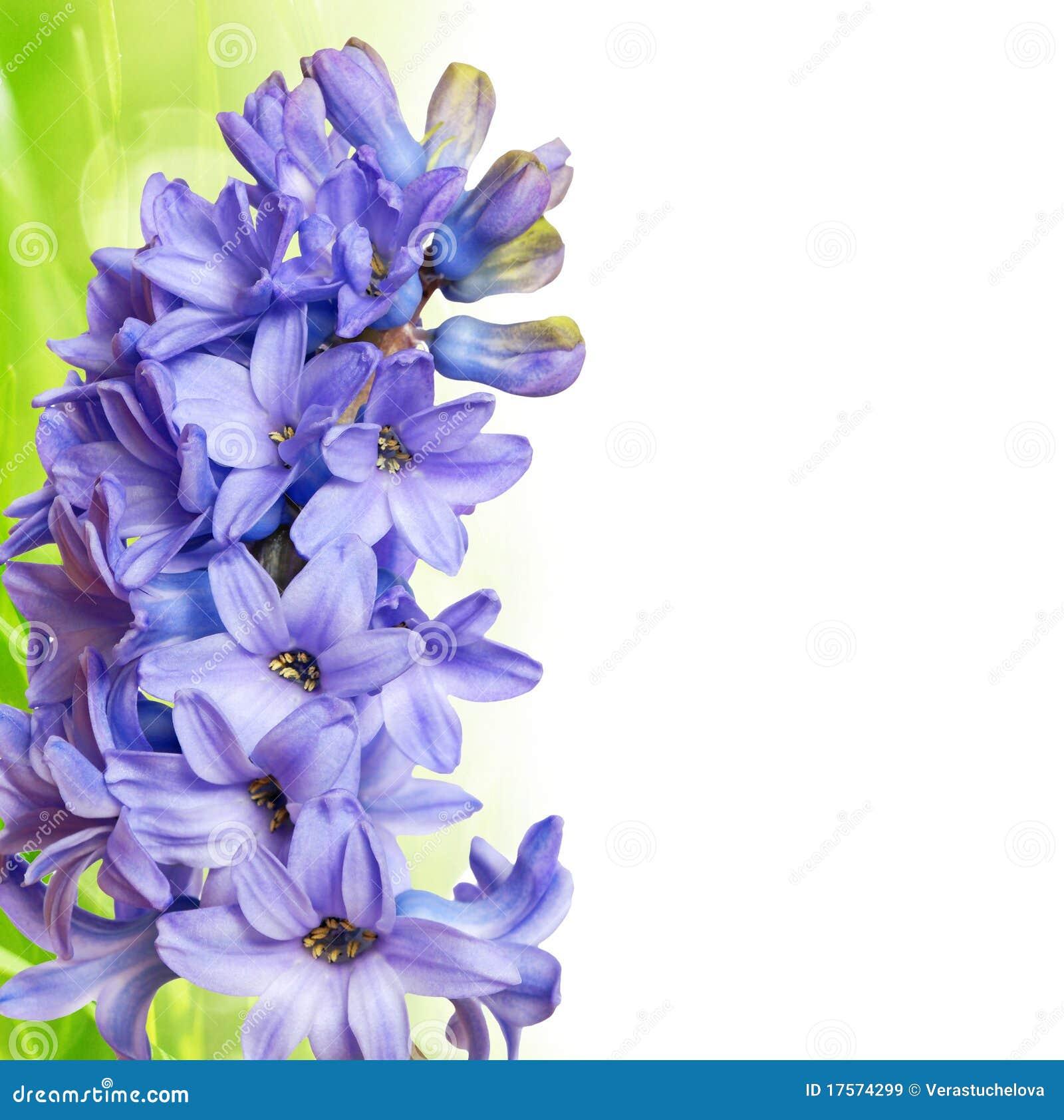 jacinthe et herbe image stock. image du fond, arome, couleur - 17574299