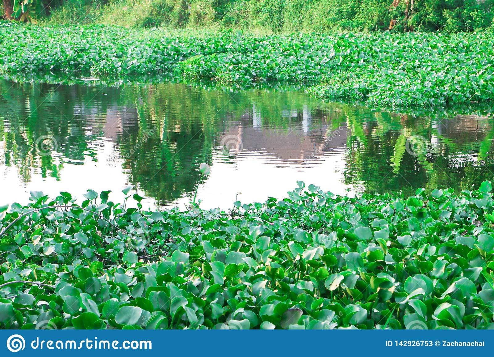 Jacinto de agua tailandés