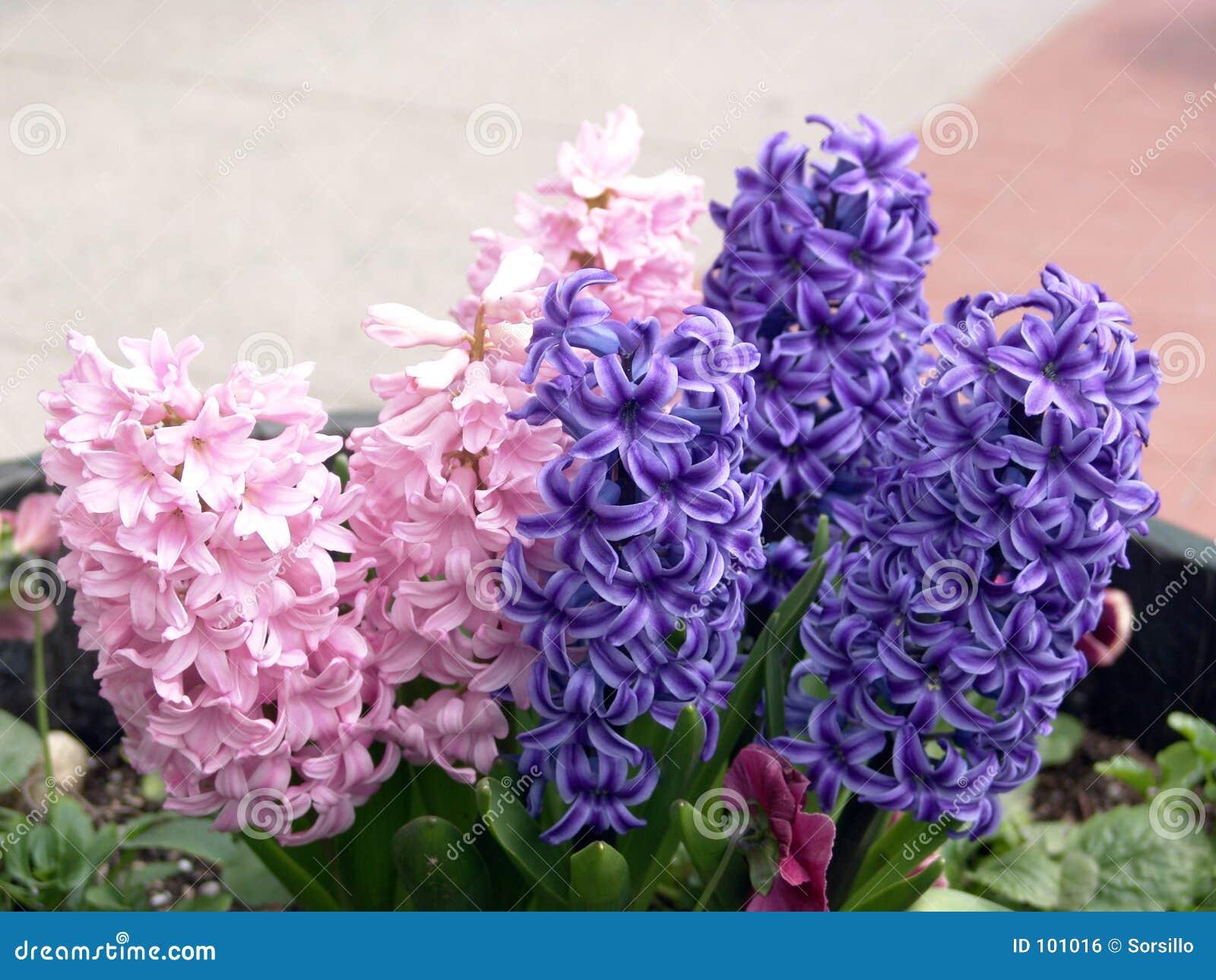 Jacinto púrpura y rosado