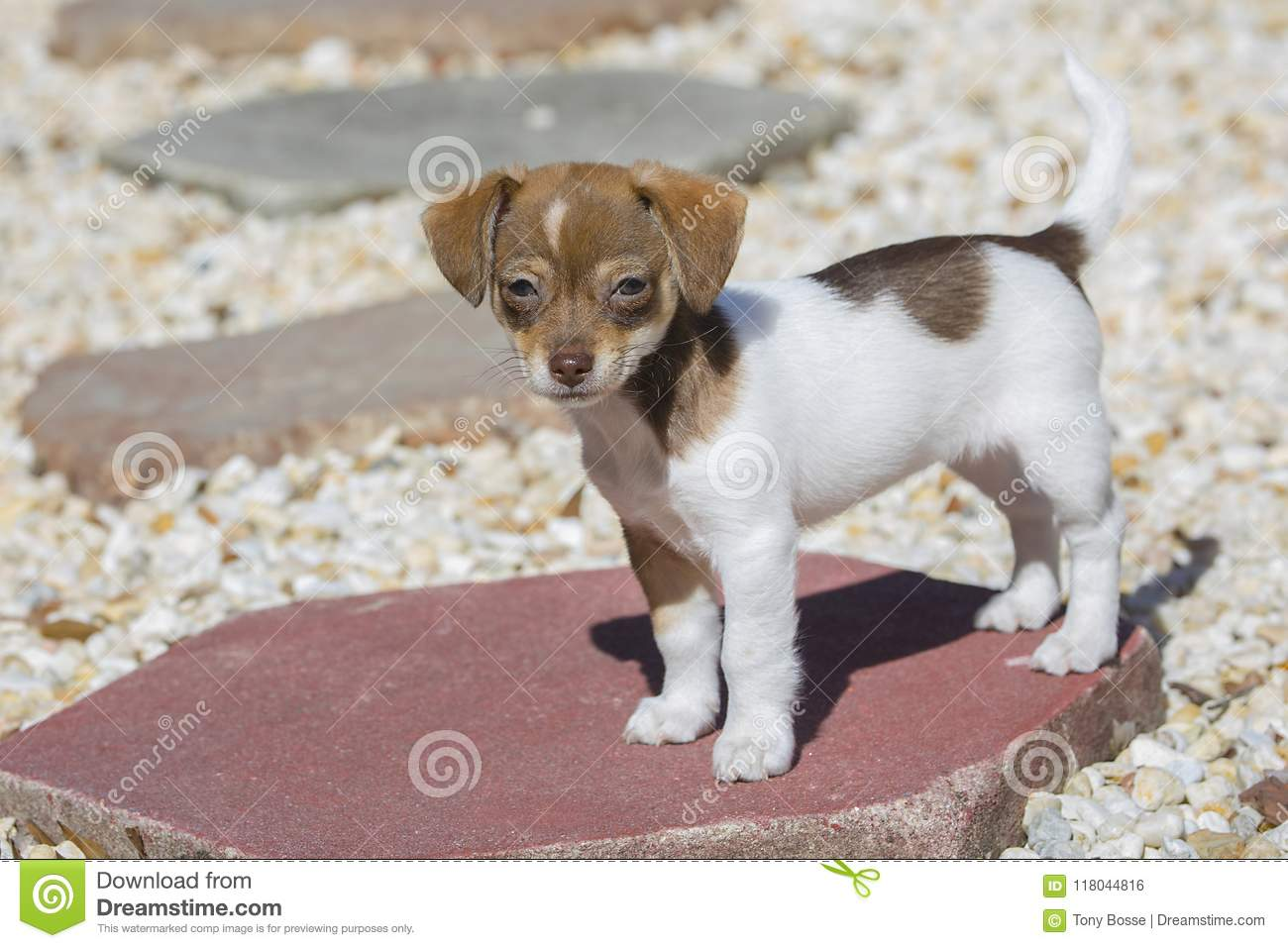 Jack Russell Mix Puppies For Sale | Greenfield Puppies