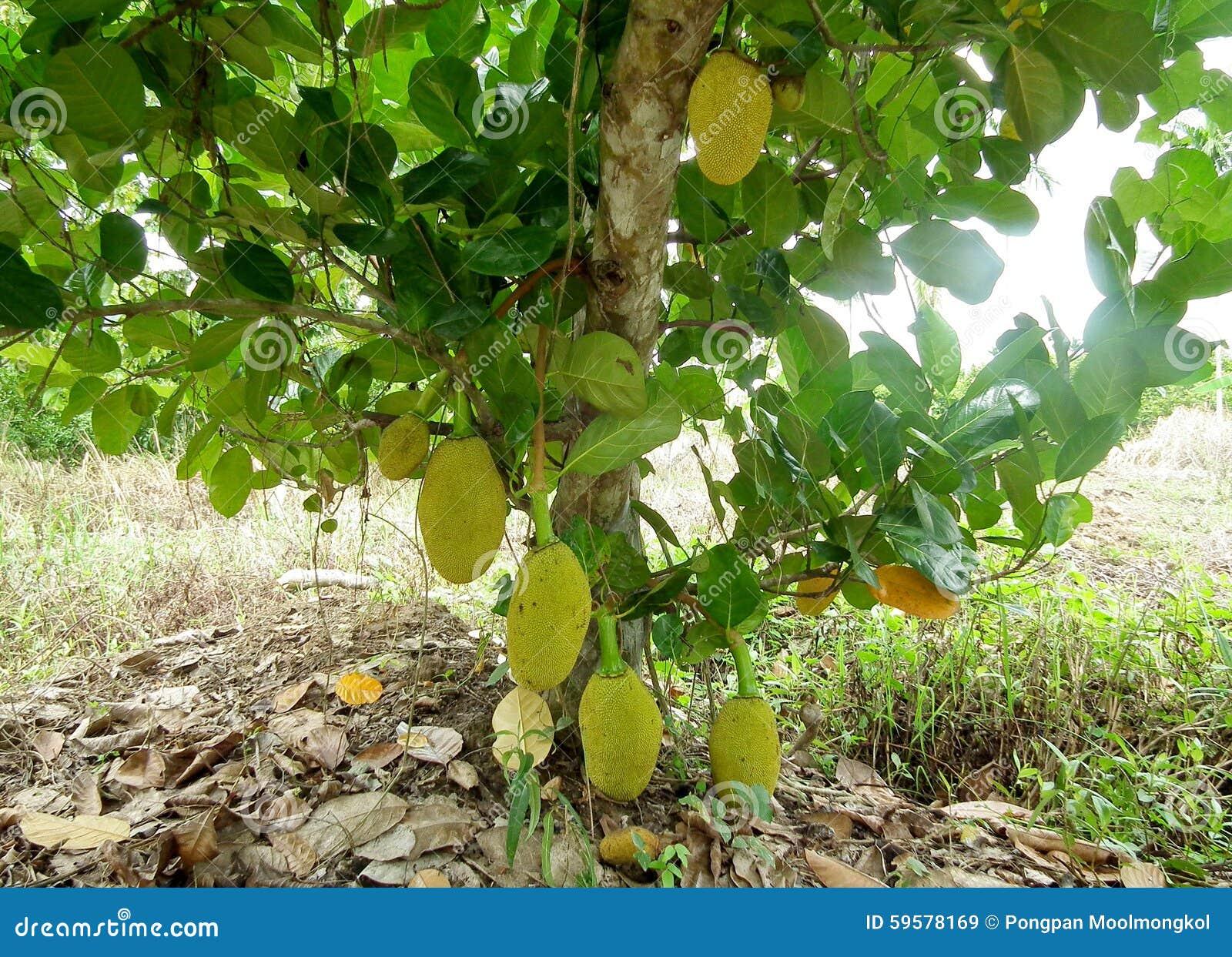 Jack Fruit  Phetchaburi Thailand Stock Image - Image of eatable