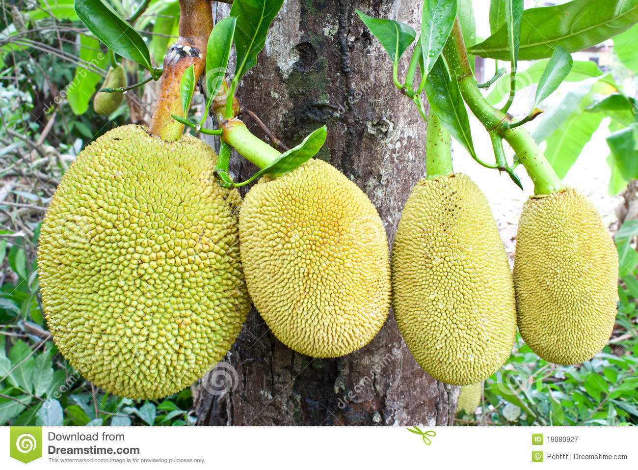 how to know when cut jackfruit is ripe