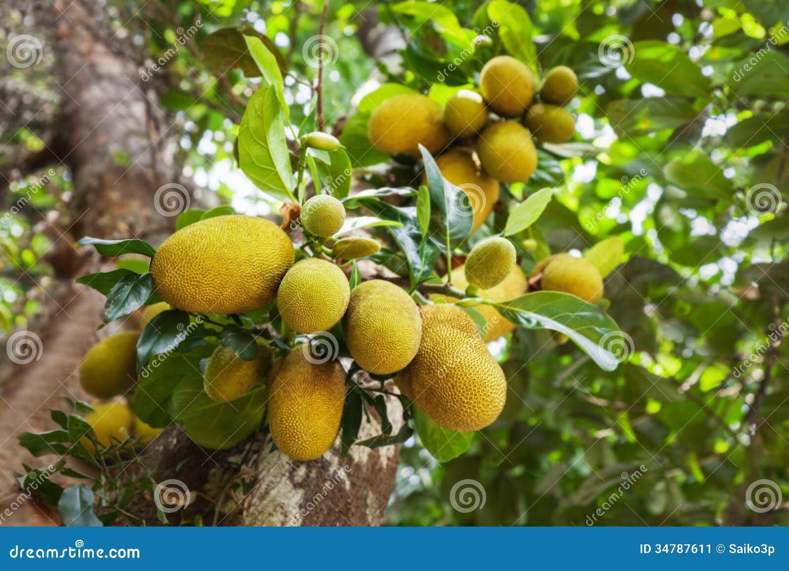 jack fruit tree stock image  image, Beautiful flower