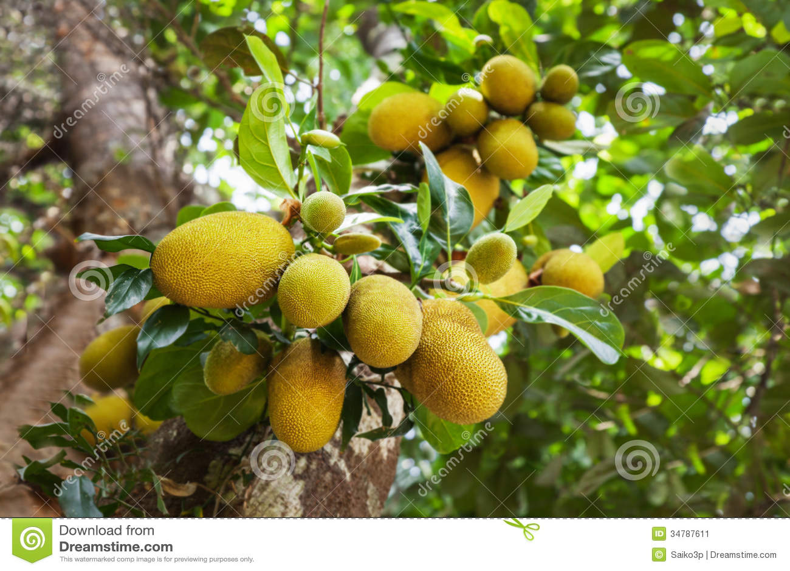 Jack owocowy drzewo