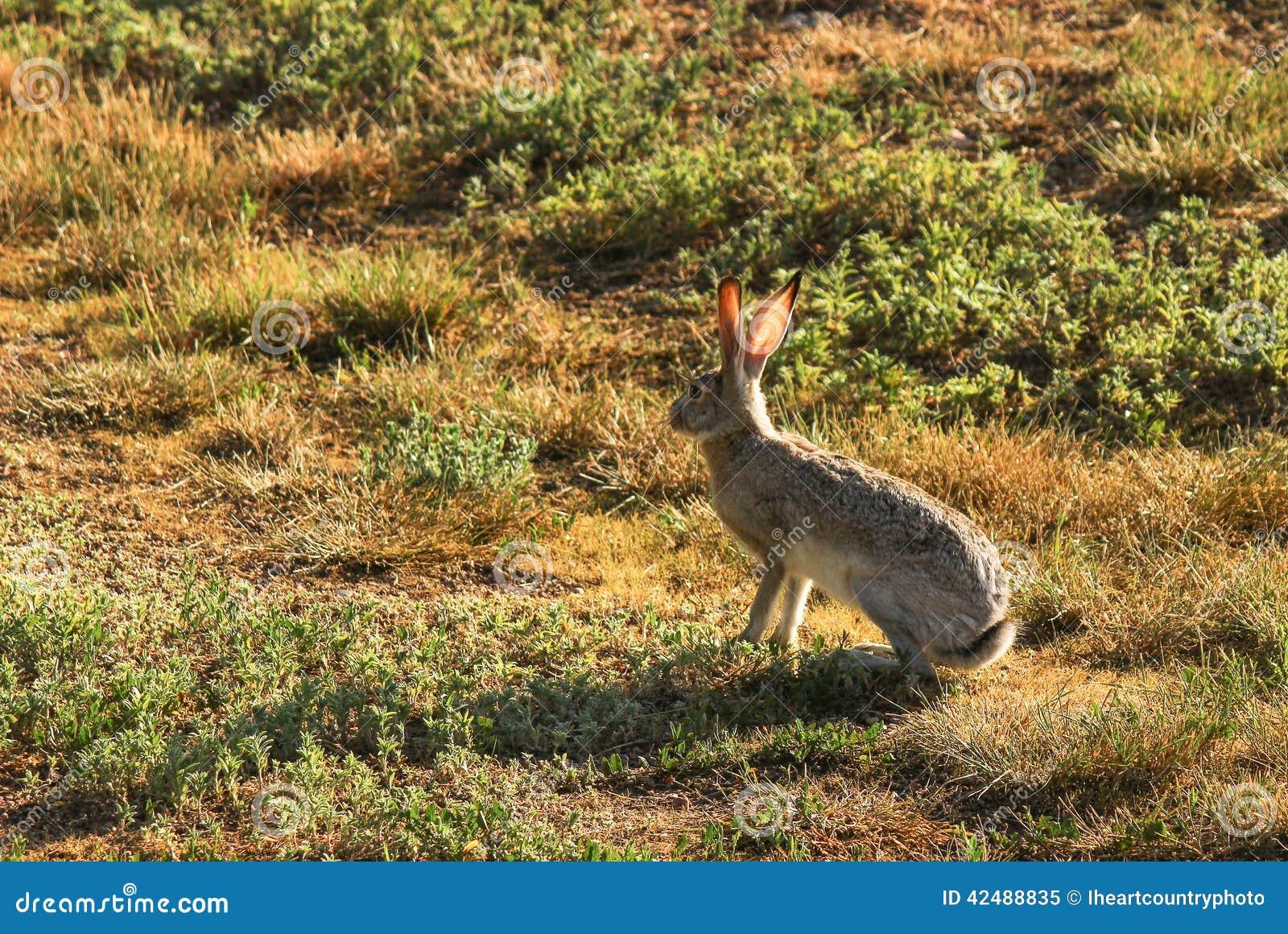 Jack Rabbit Usa >> Jack Rabbit Stock Image Image Of Hare Prey Hunting 42488835