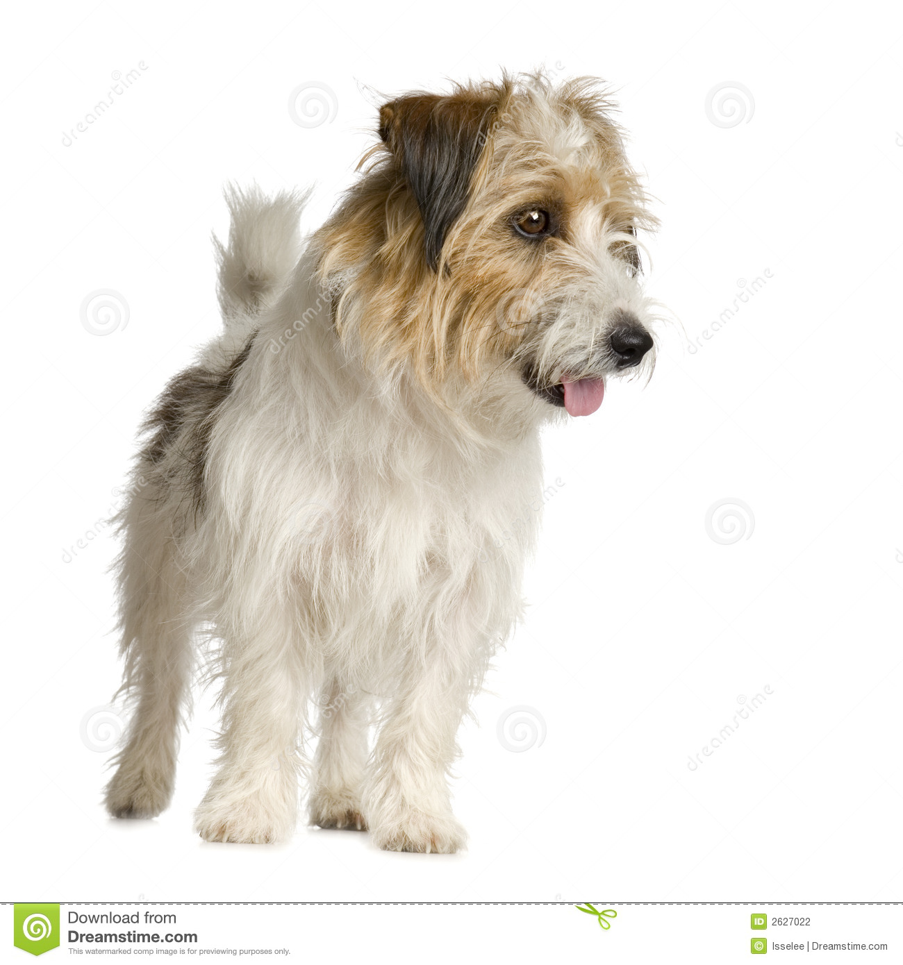 Jack russel long haired in front of a white background.