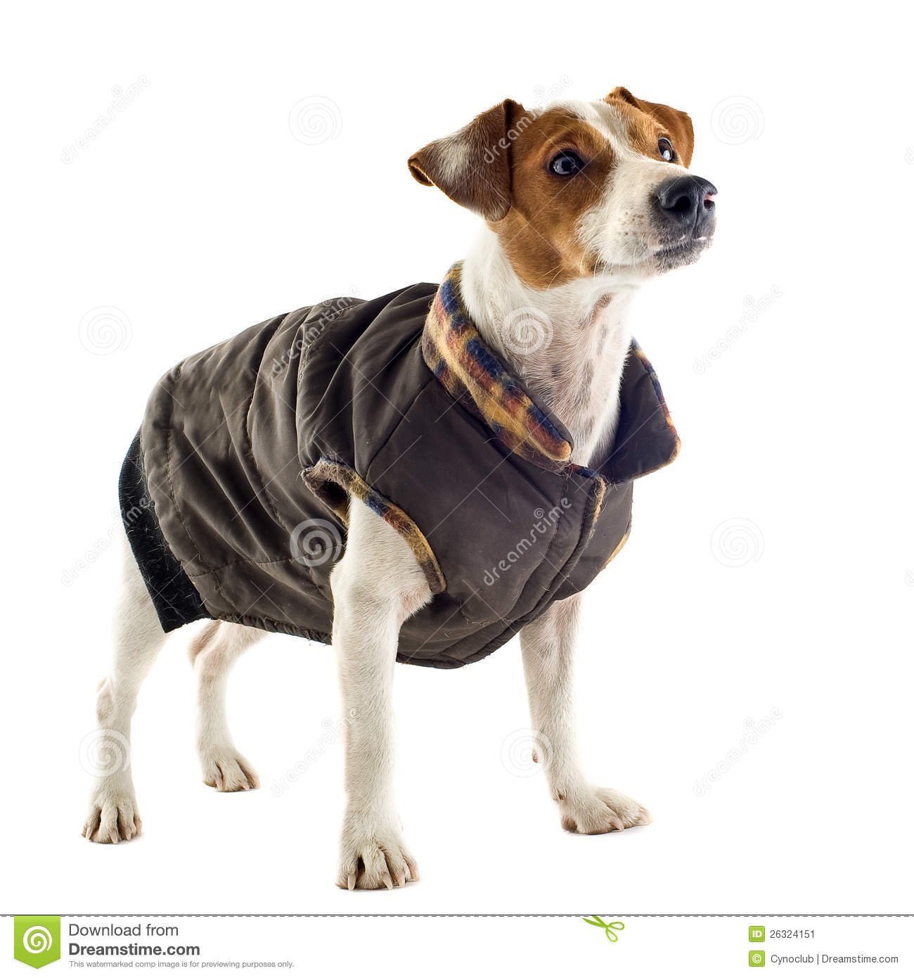 Jack Russel Terrier With Coat Stock Image - Image: 26324151