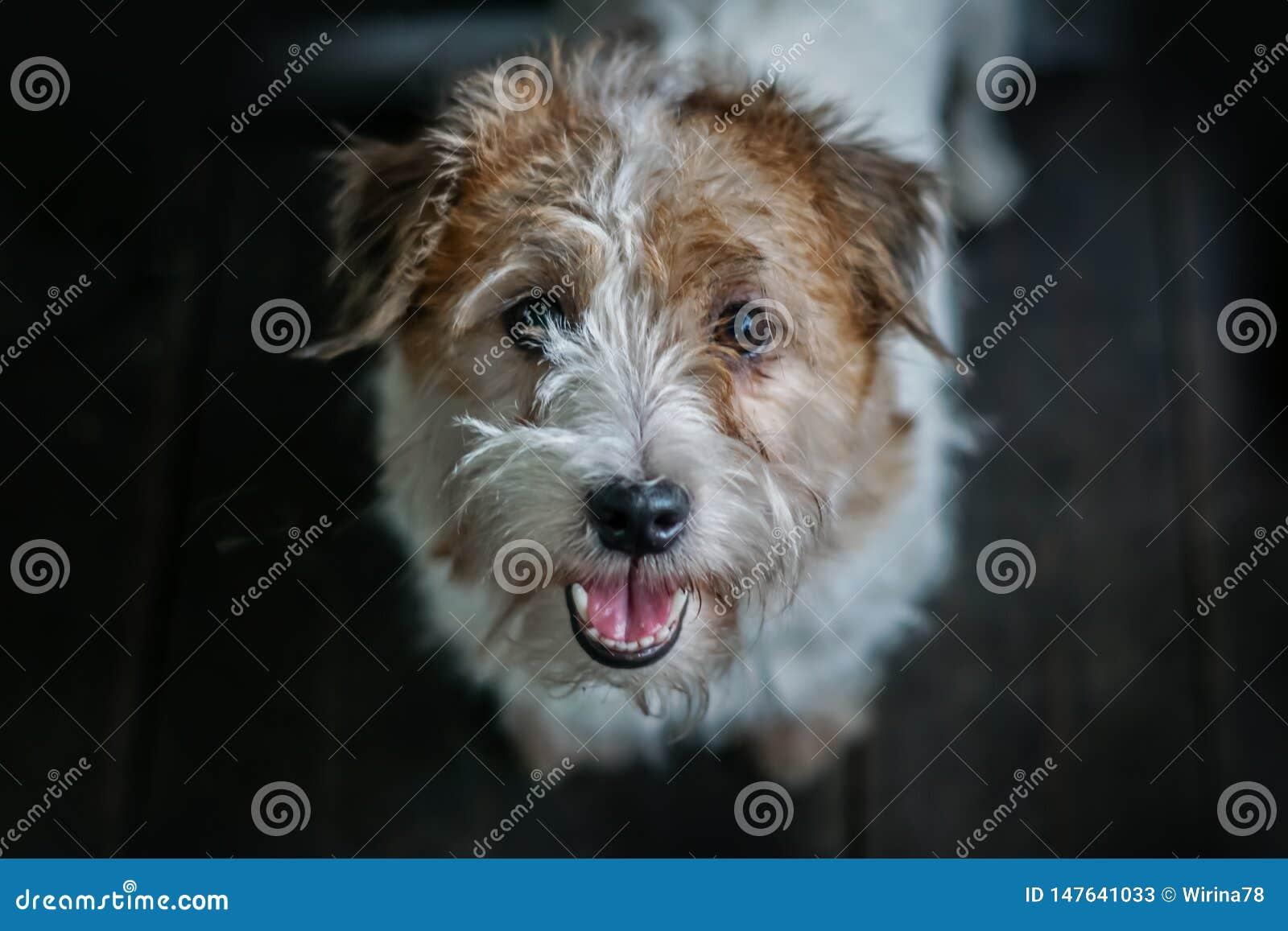 Jack Russel Terrier portreta zbli?enia zmroku t?o Ci??ki ow?osiony i z w?osami
