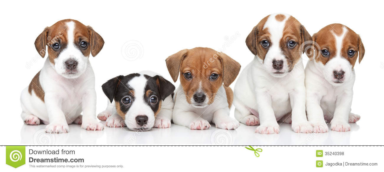 Jack russel terrier puppies group portrait royalty free stock photos