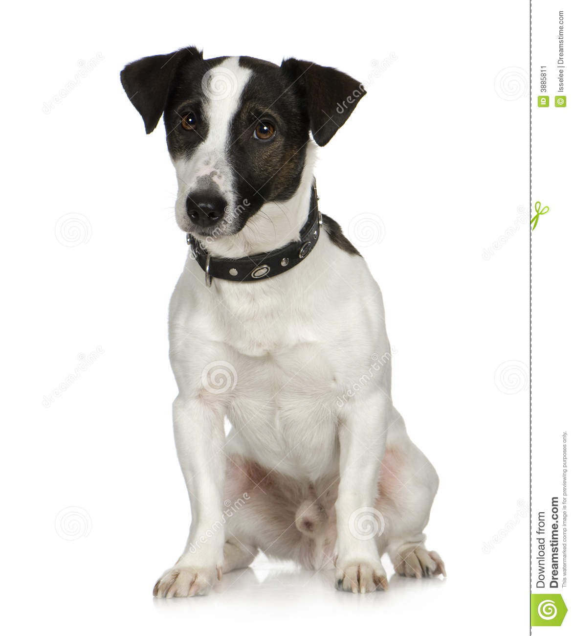 Jack russell (2 anni)