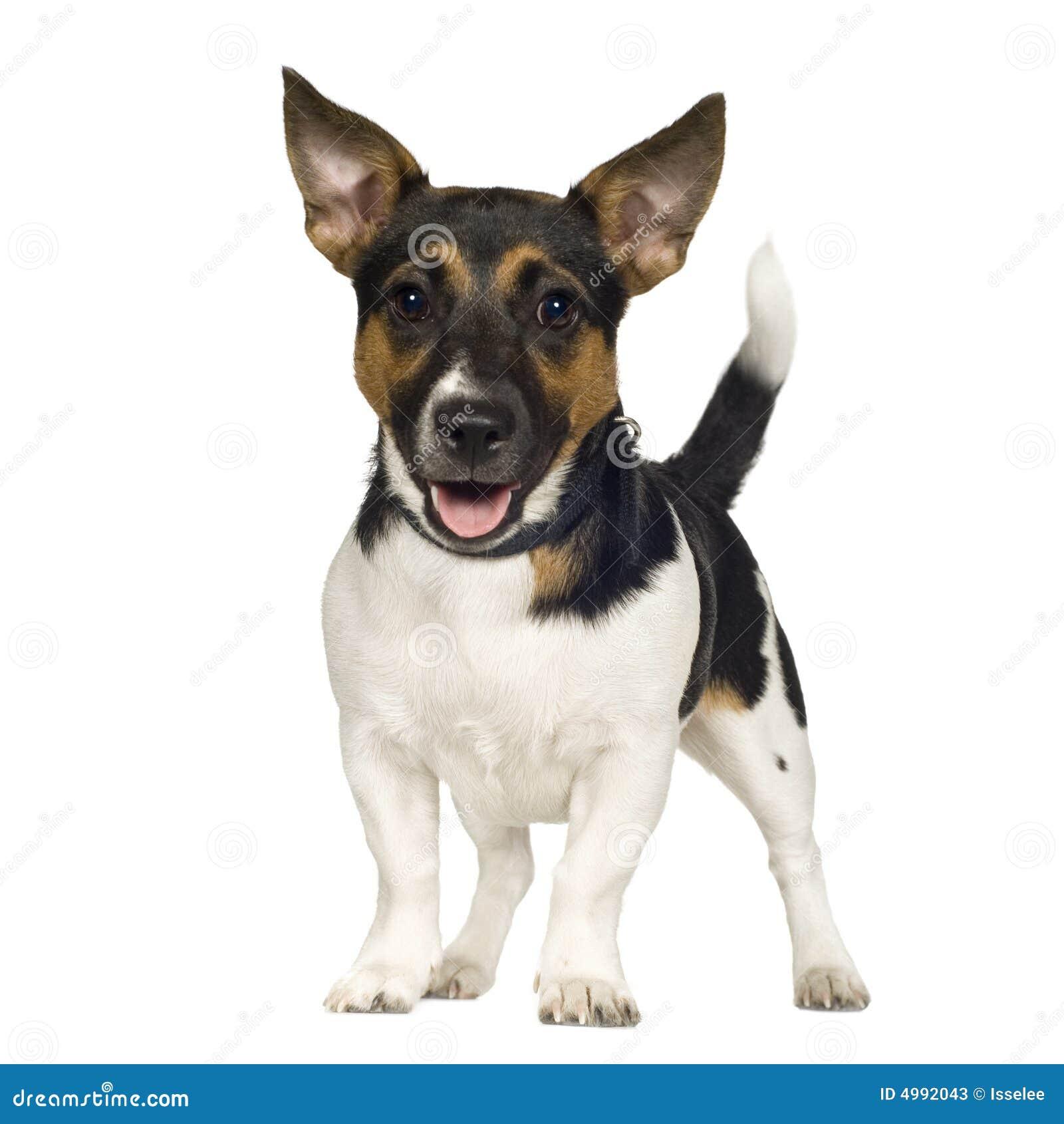 Jack Russell 6 Mesi Immagine Stock Immagine Di Freddo 4992043
